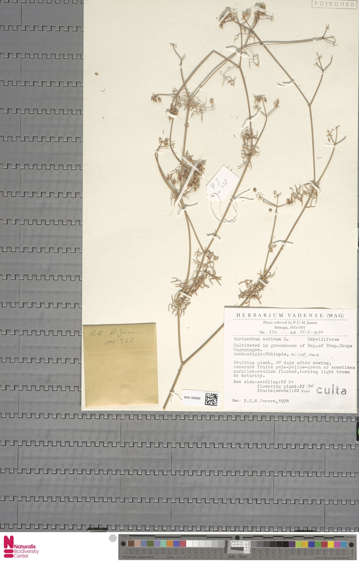 WAG.1858082 | Coriandrum sativum L.