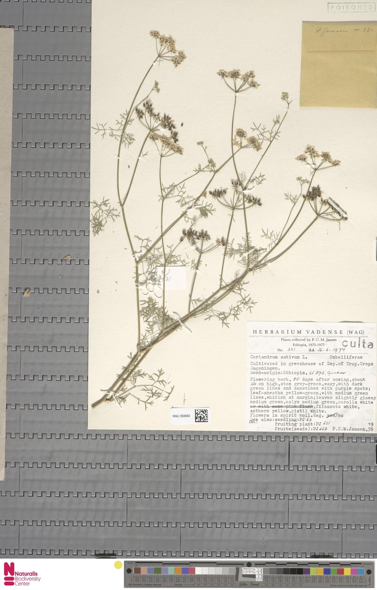 WAG.1858083   Coriandrum sativum L.