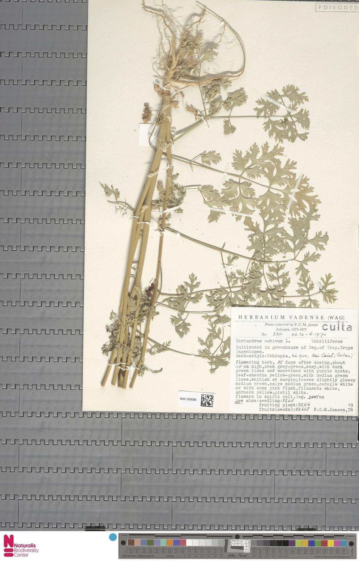 WAG.1858086 | Coriandrum sativum L.