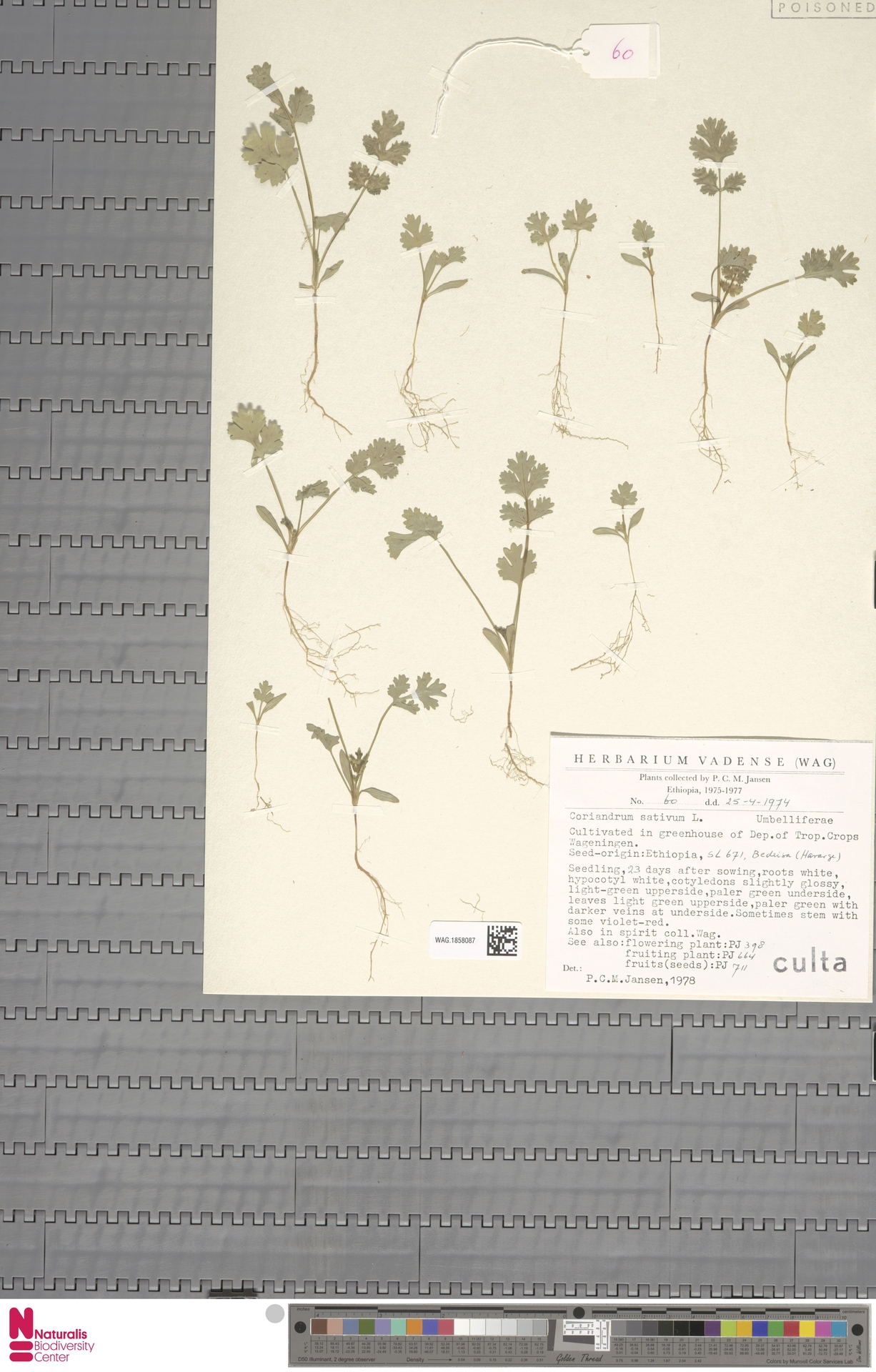 WAG.1858087 | Coriandrum sativum L.