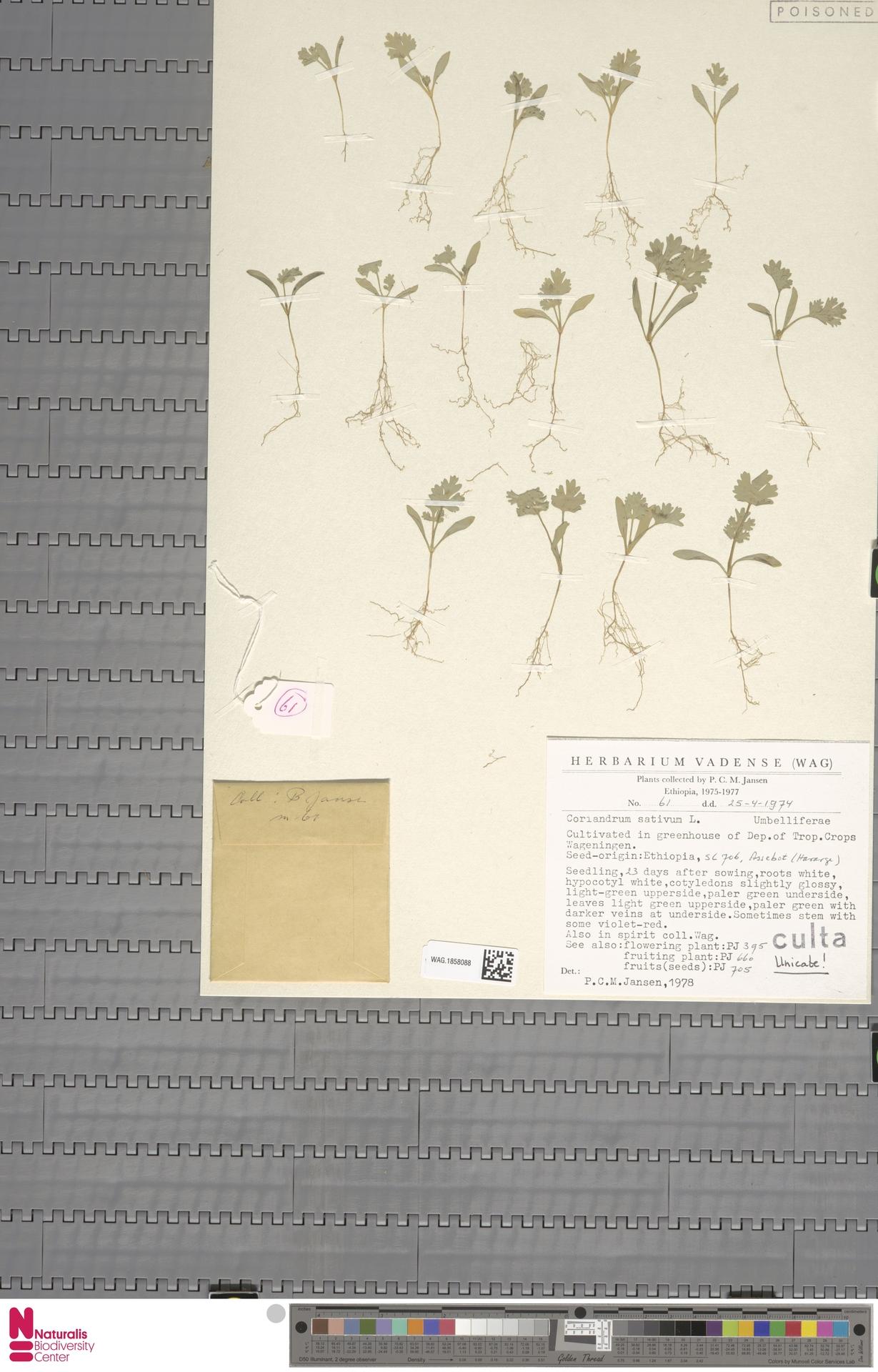 WAG.1858088 | Coriandrum sativum L.