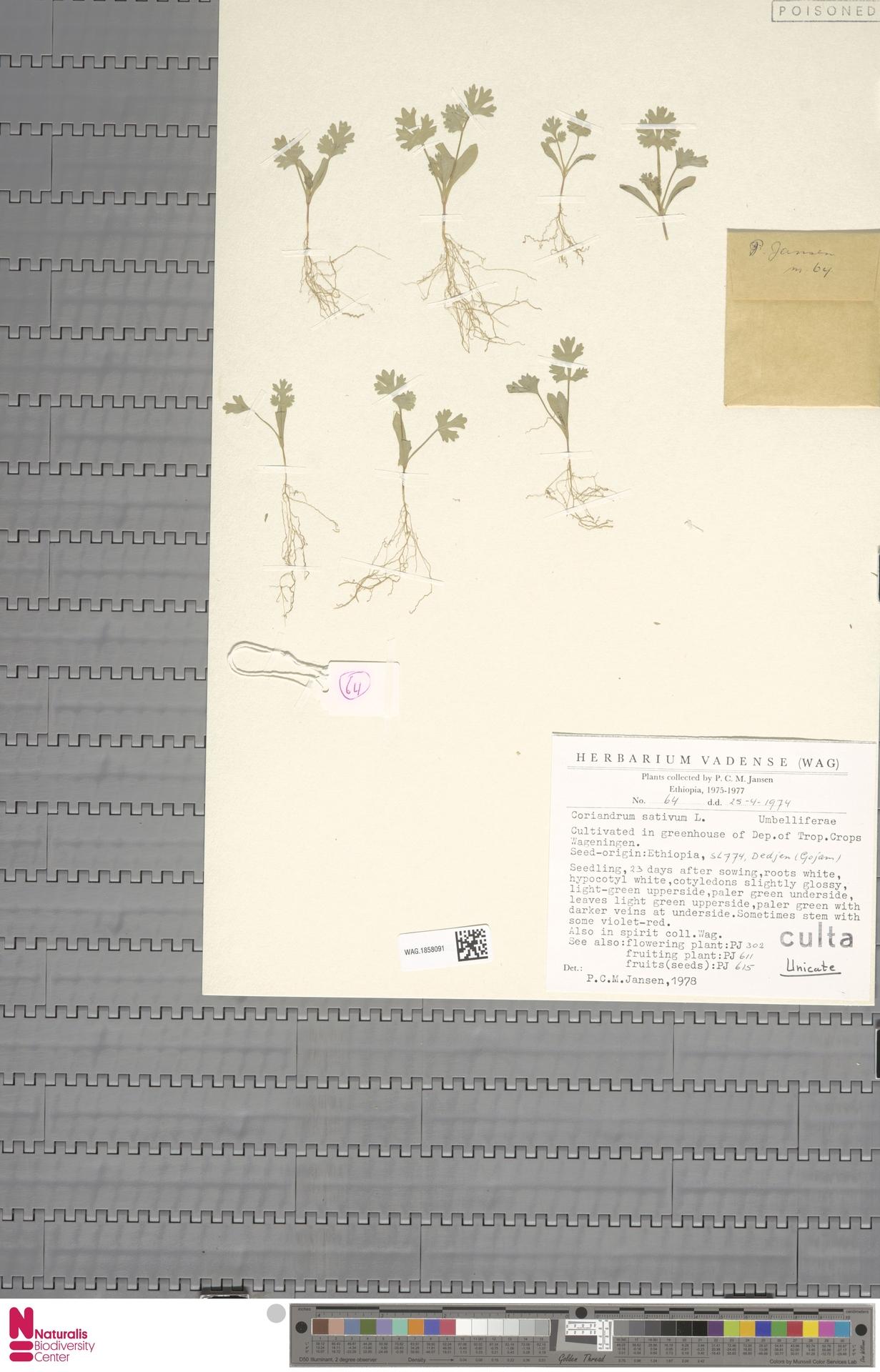 WAG.1858091 | Coriandrum sativum L.