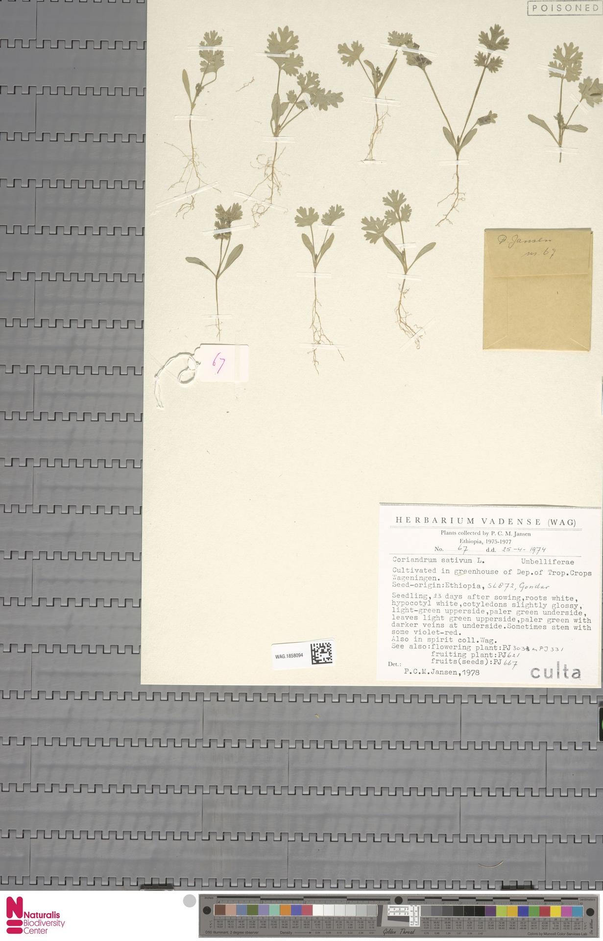 WAG.1858094 | Coriandrum sativum L.
