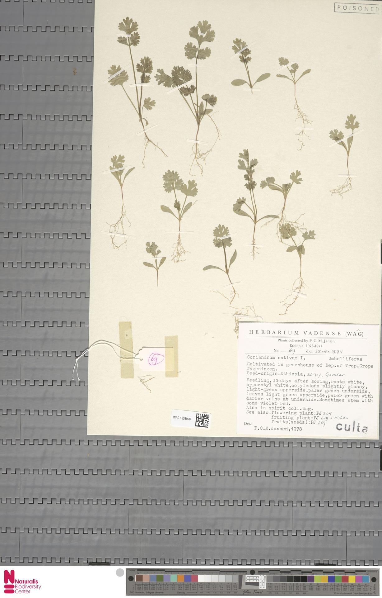 WAG.1858096 | Coriandrum sativum L.