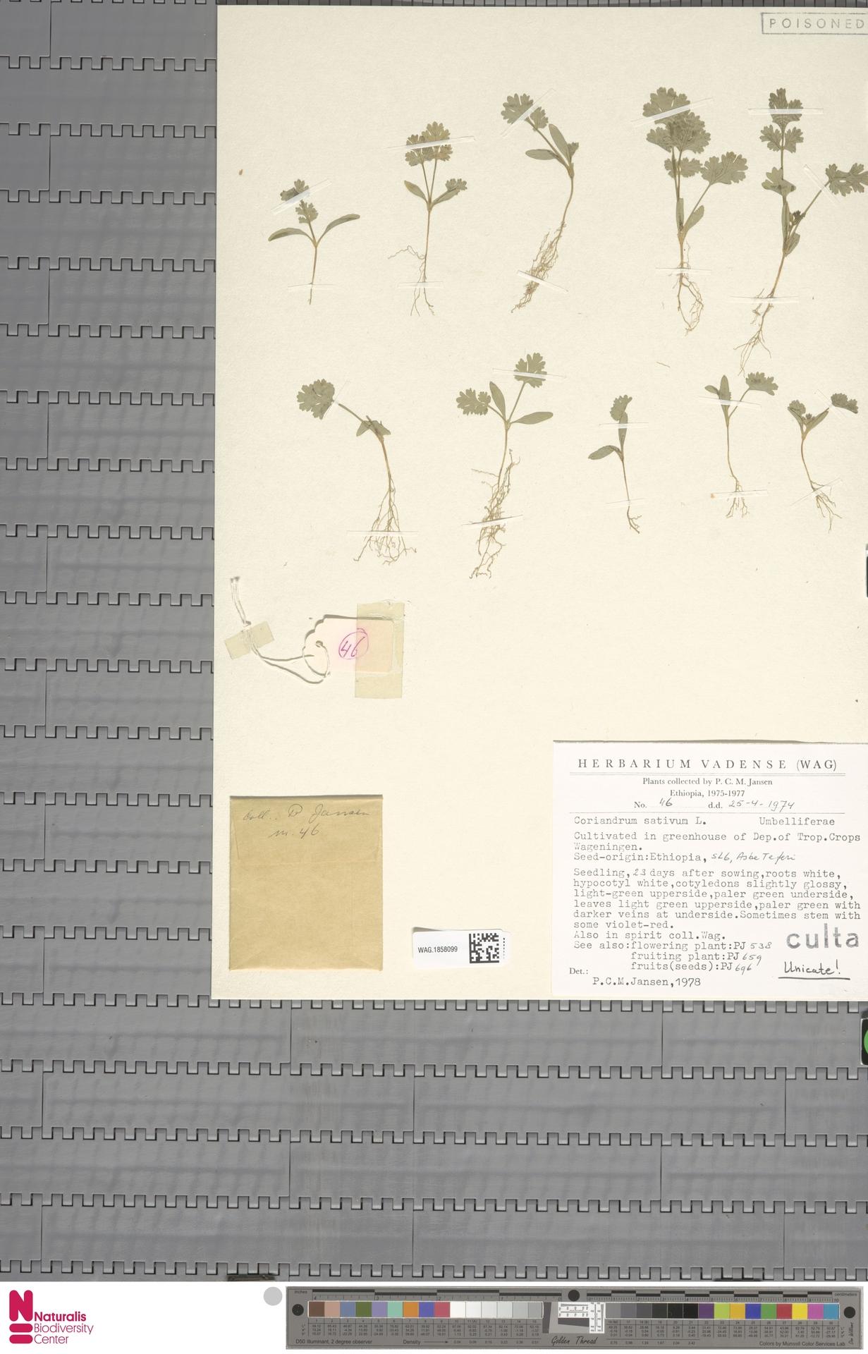 WAG.1858099 | Coriandrum sativum L.