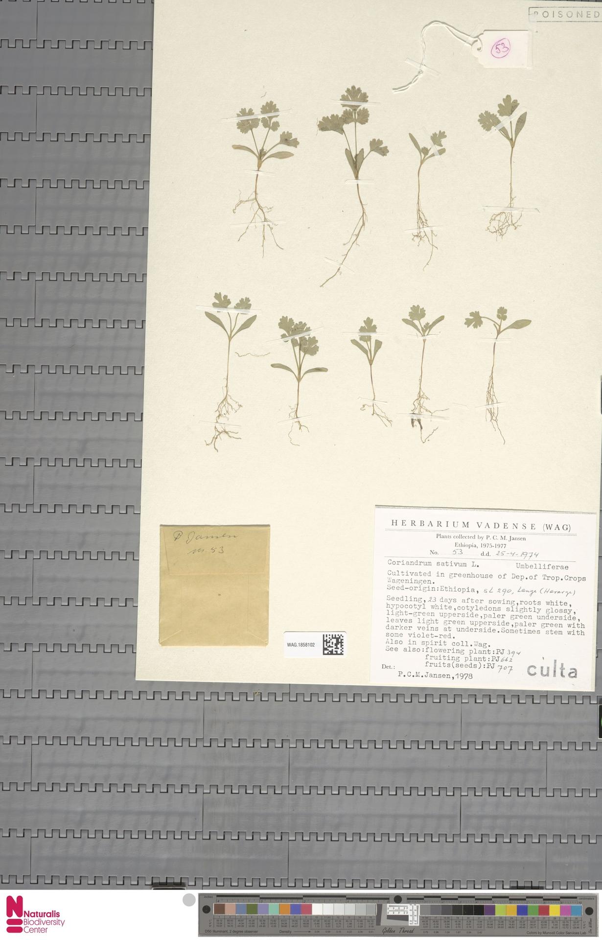WAG.1858102 | Coriandrum sativum L.