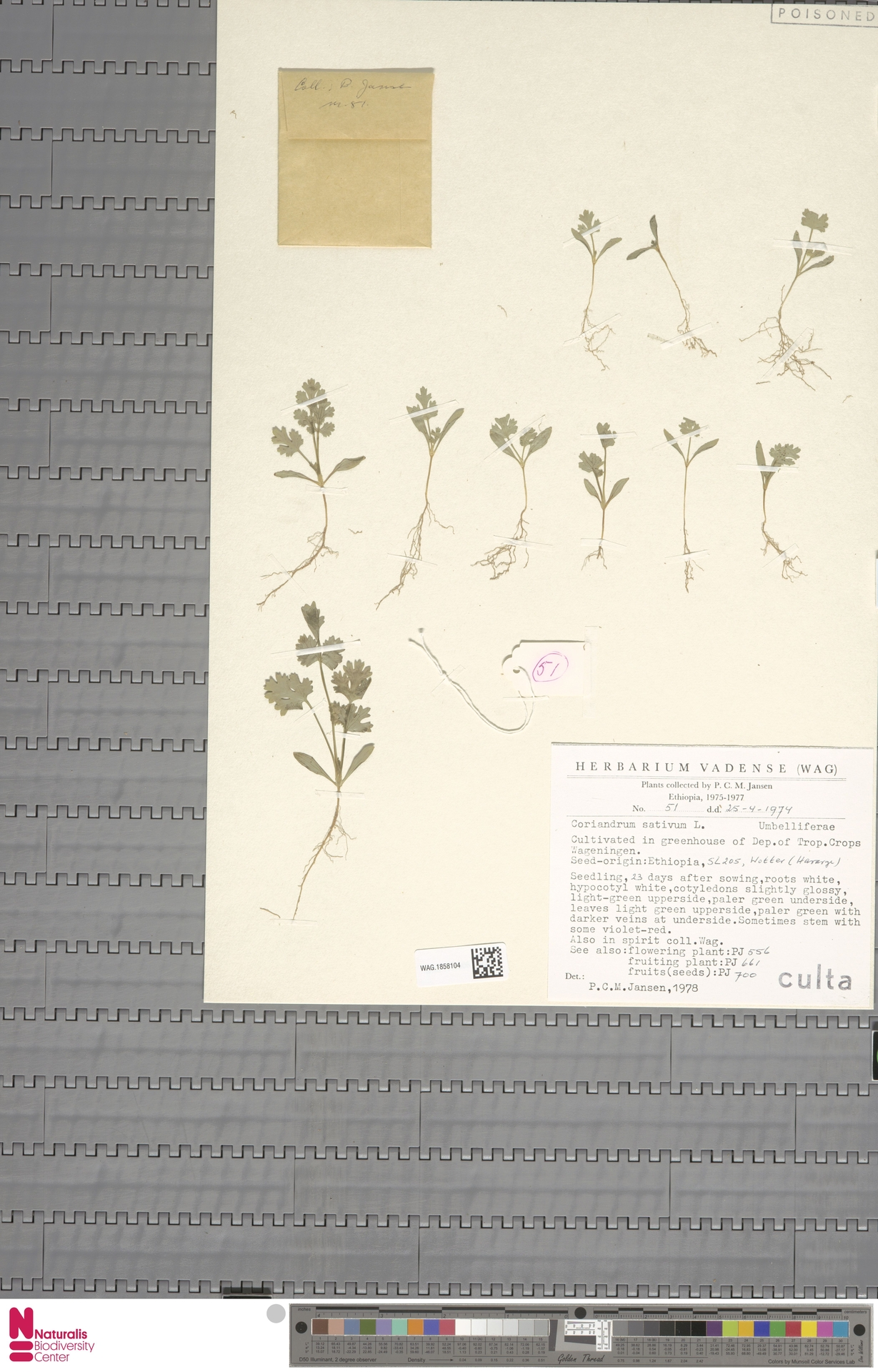WAG.1858104 | Coriandrum sativum L.