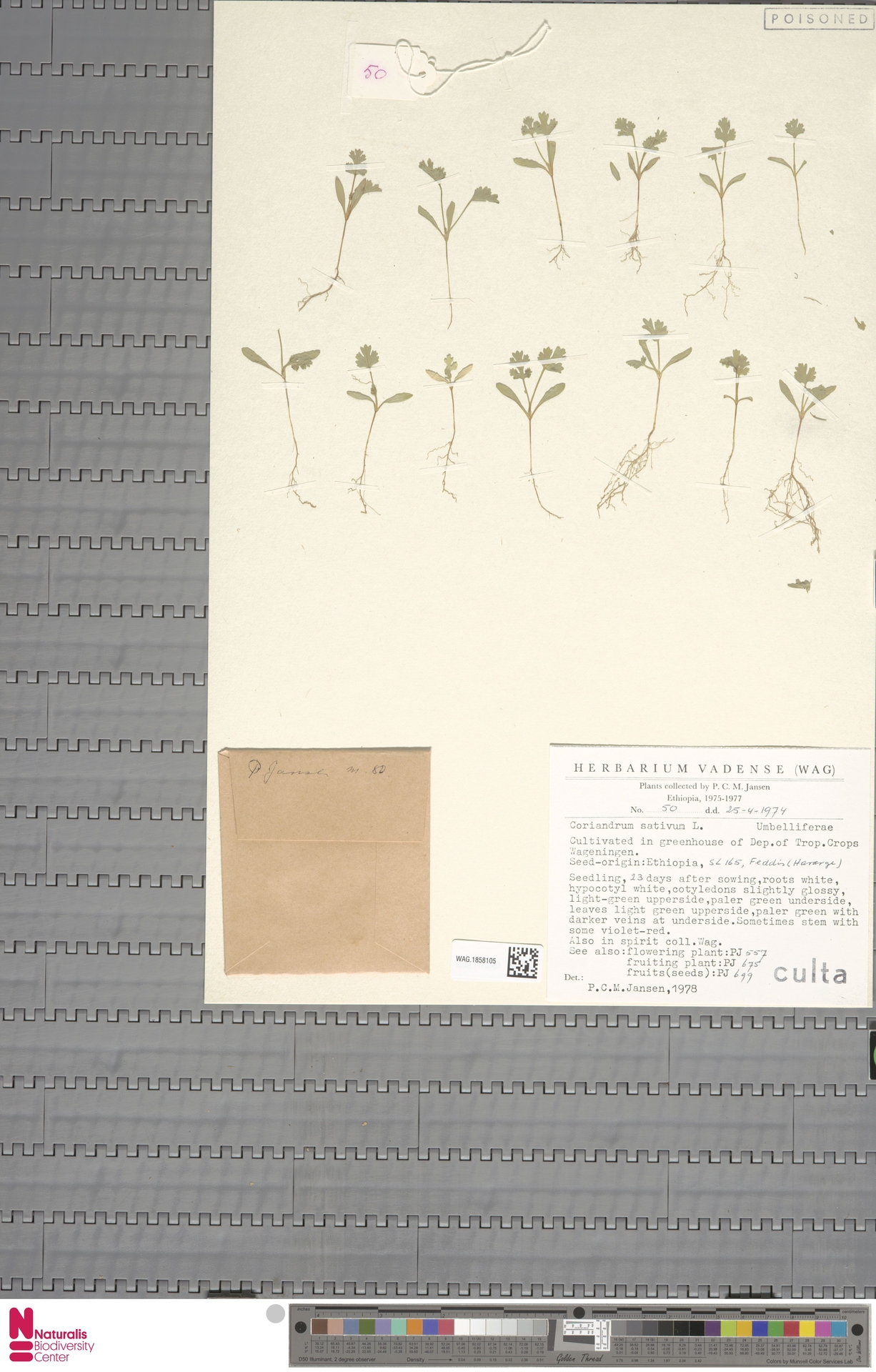 WAG.1858105 | Coriandrum sativum L.