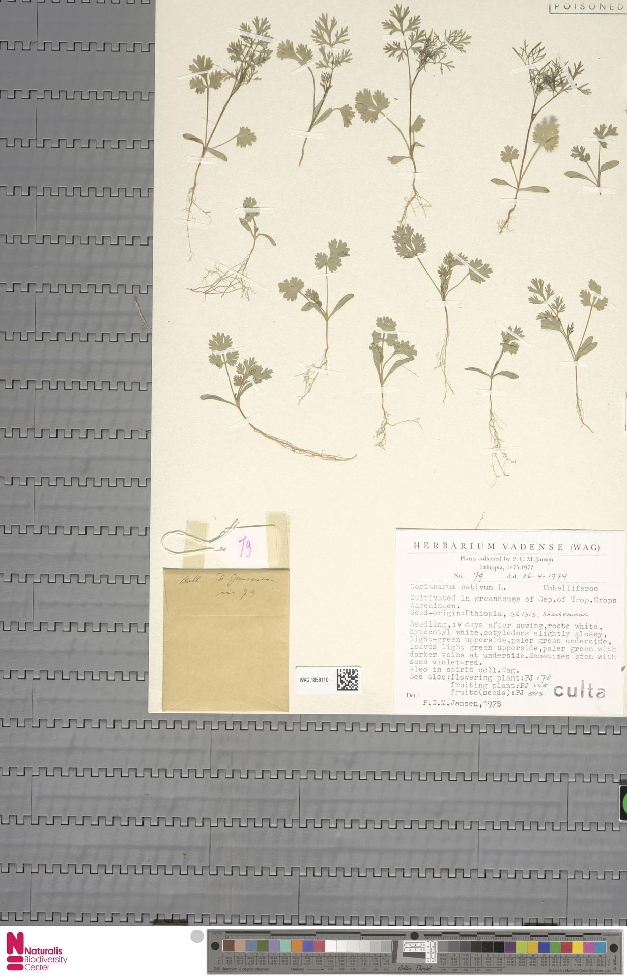 WAG.1858110 | Coriandrum sativum L.