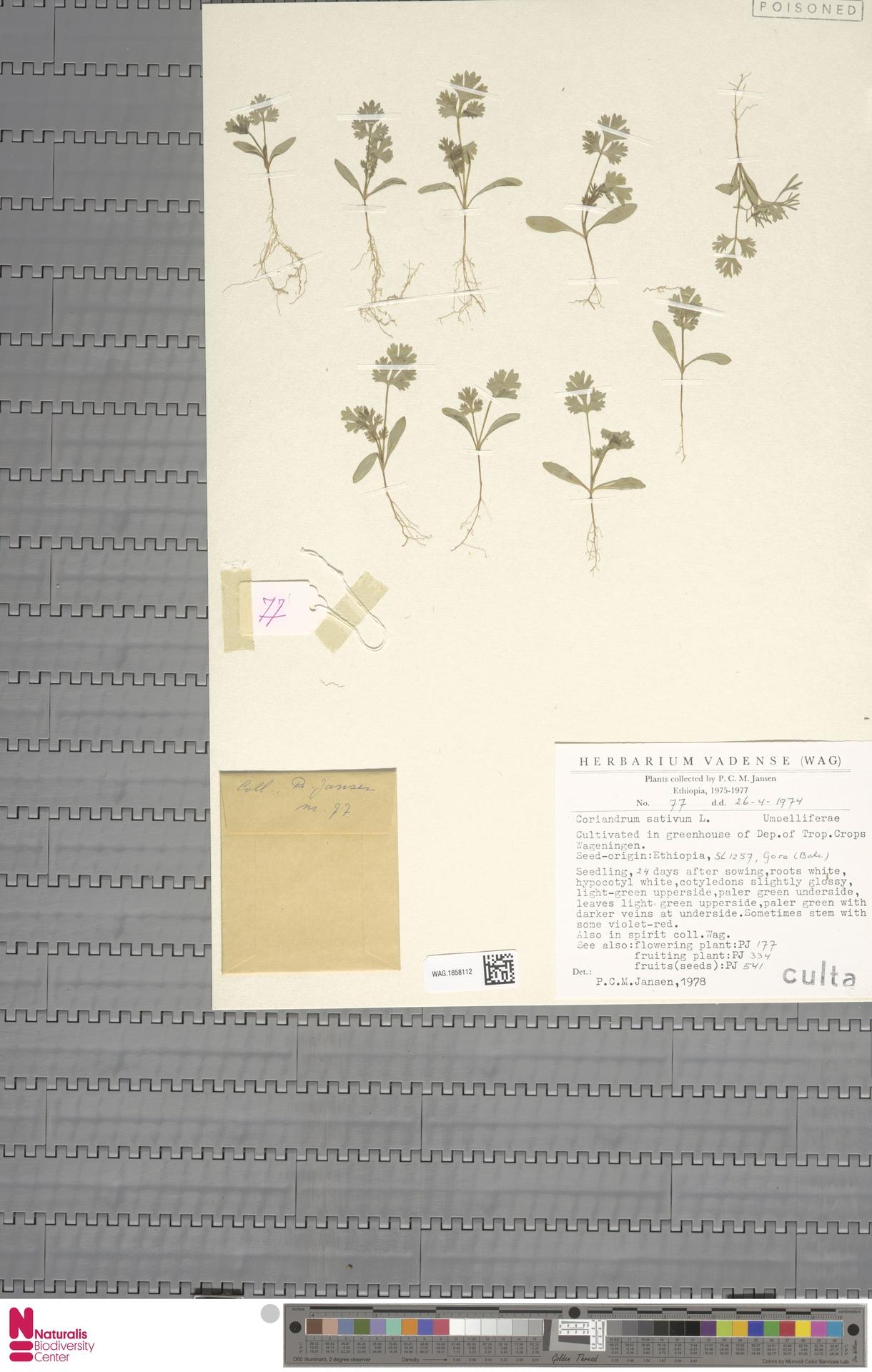 WAG.1858112 | Coriandrum sativum L.