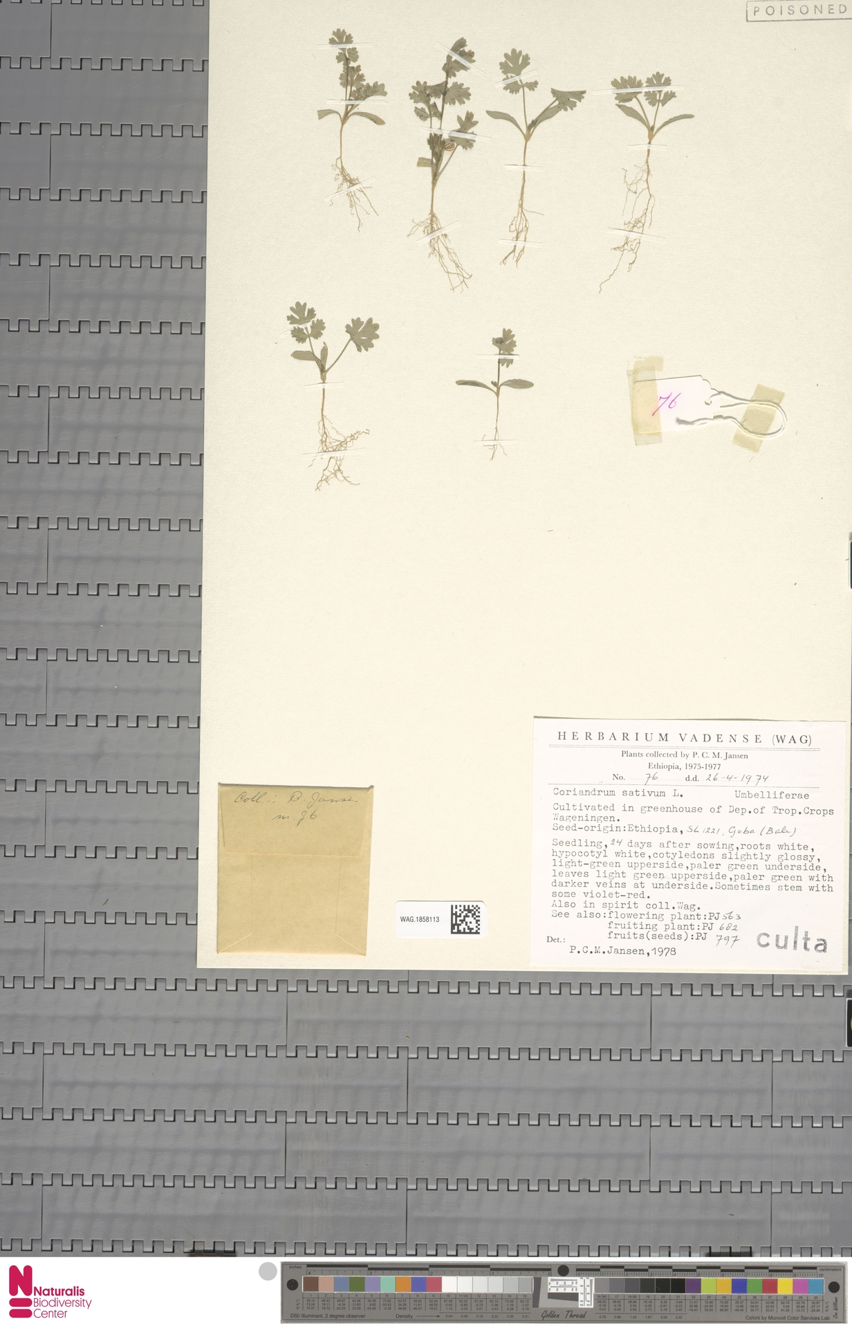 WAG.1858113 | Coriandrum sativum L.