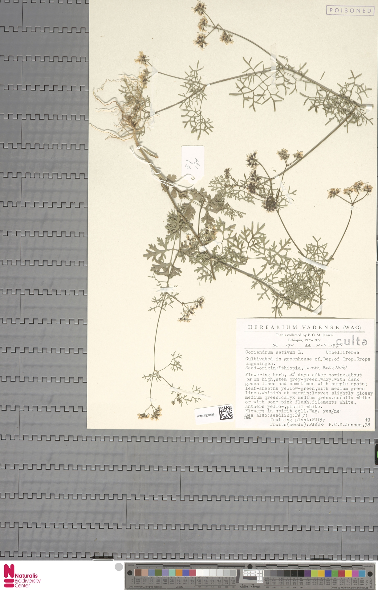 WAG.1858121 | Coriandrum sativum L.