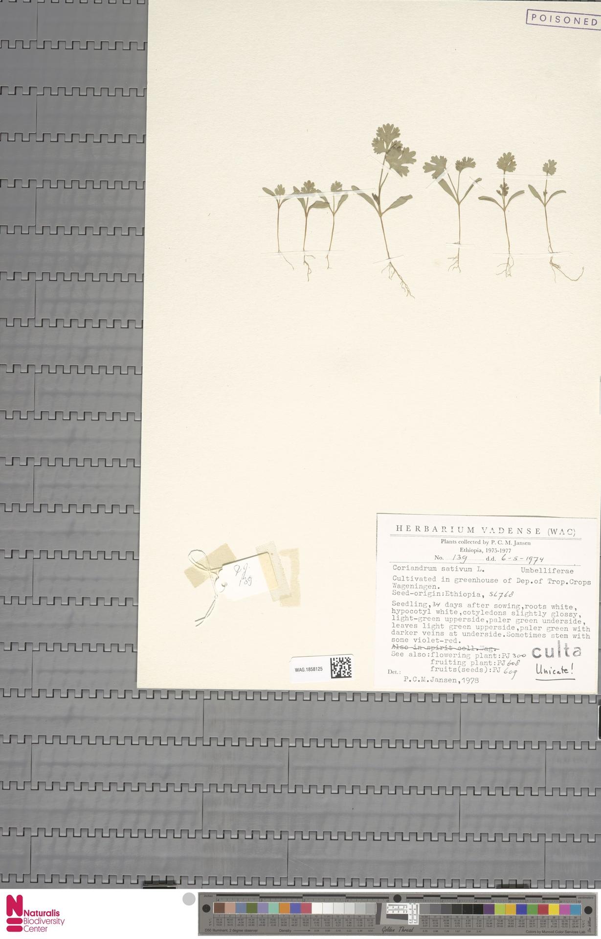 WAG.1858125 | Coriandrum sativum L.