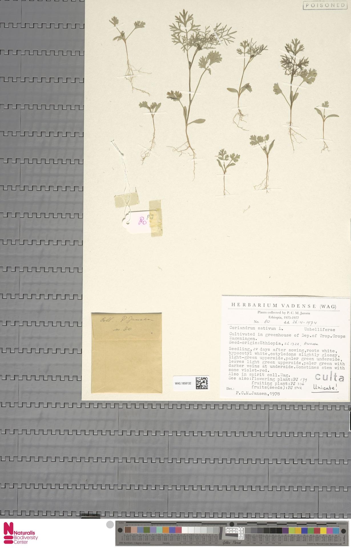 WAG.1858132 | Coriandrum sativum L.