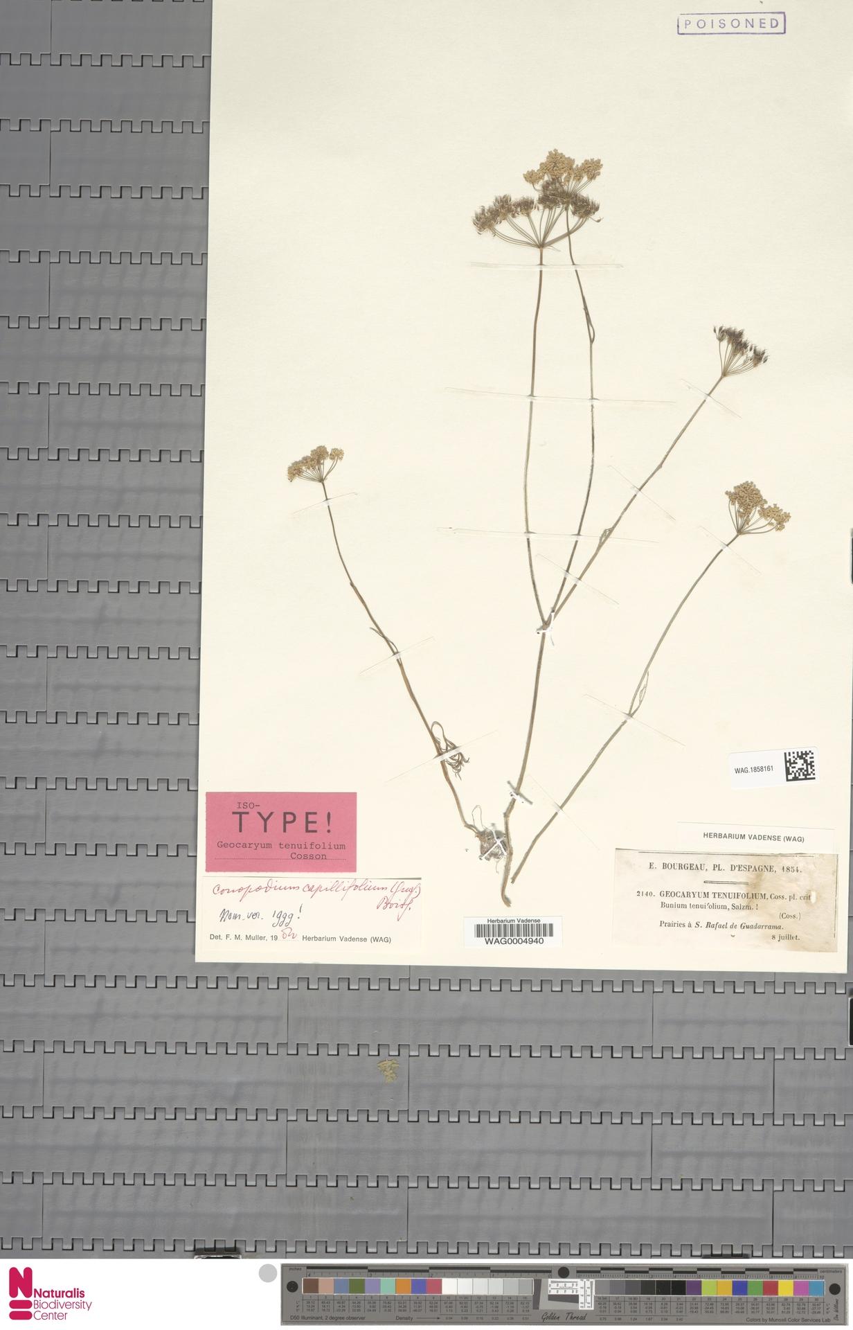 WAG.1858161 | Conopodium capillifolium (Coss.) Boiss.