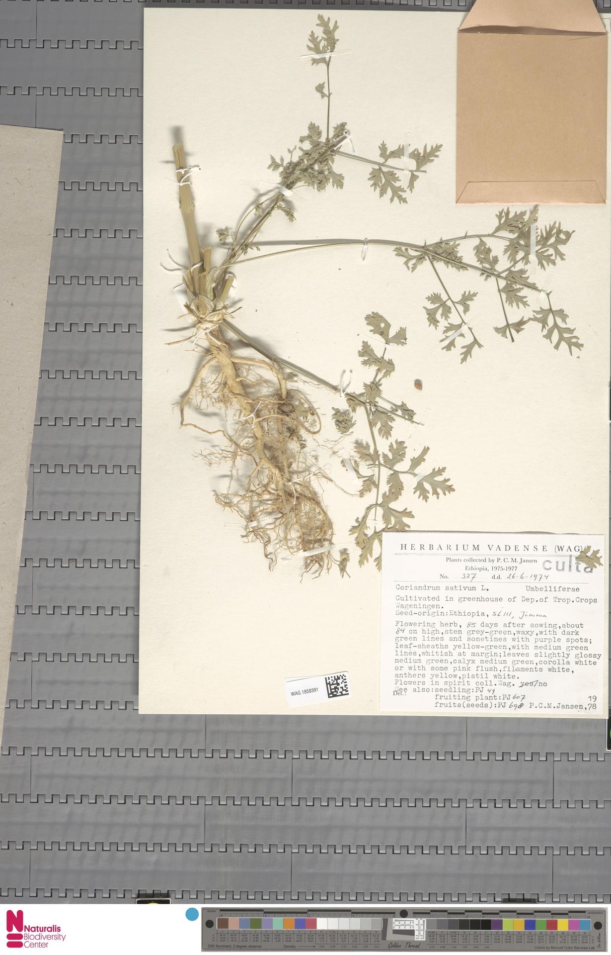 WAG.1858391 | Coriandrum sativum L.