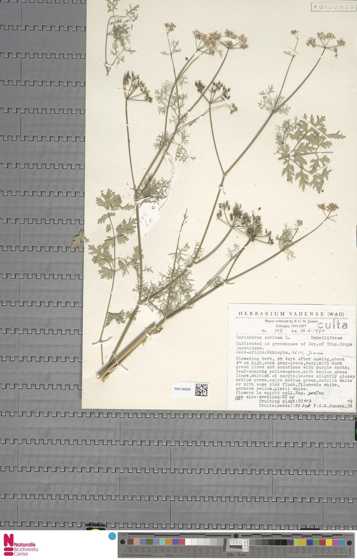 WAG.1858392 | Coriandrum sativum L.