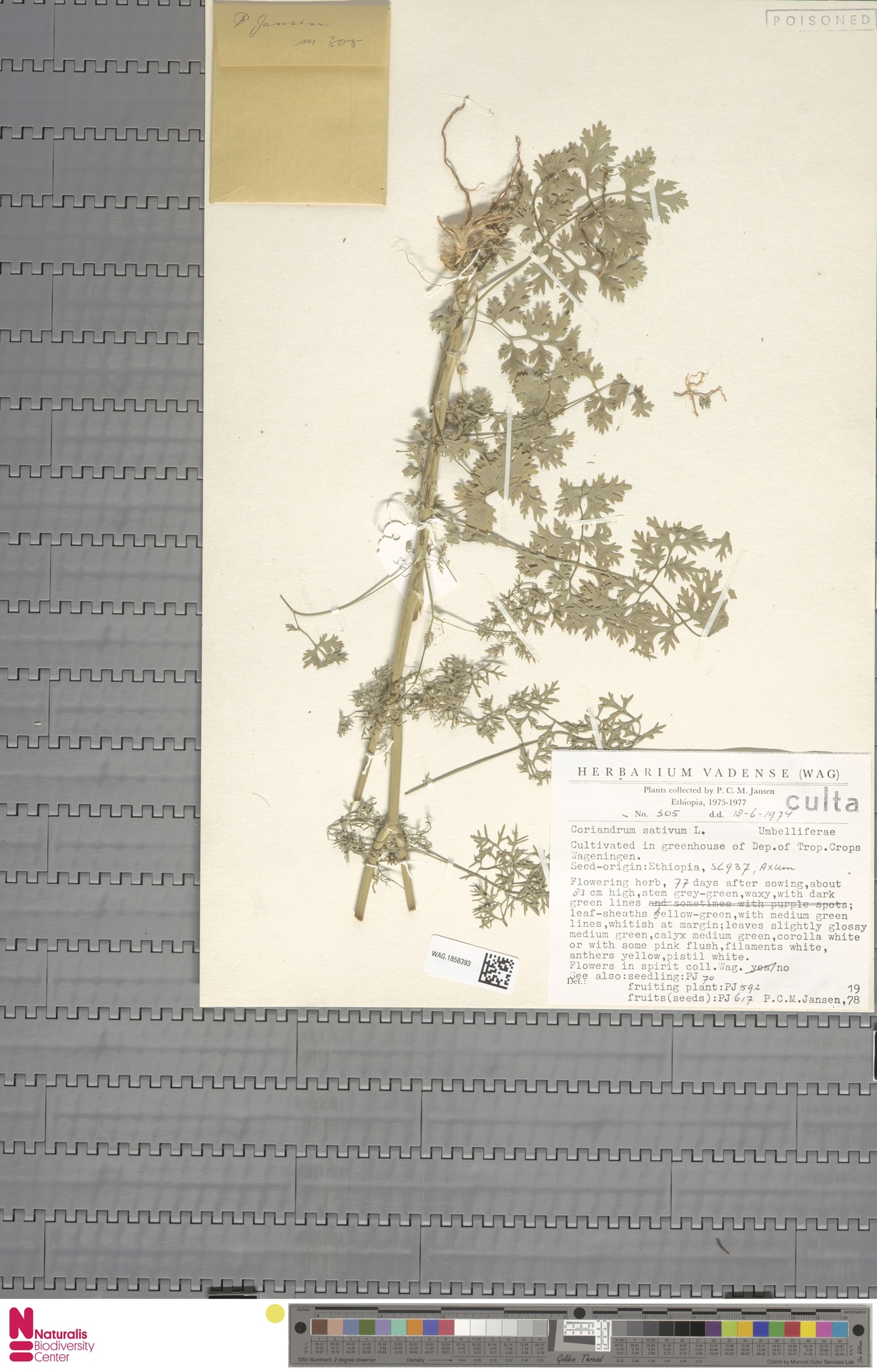 WAG.1858393 | Coriandrum sativum L.