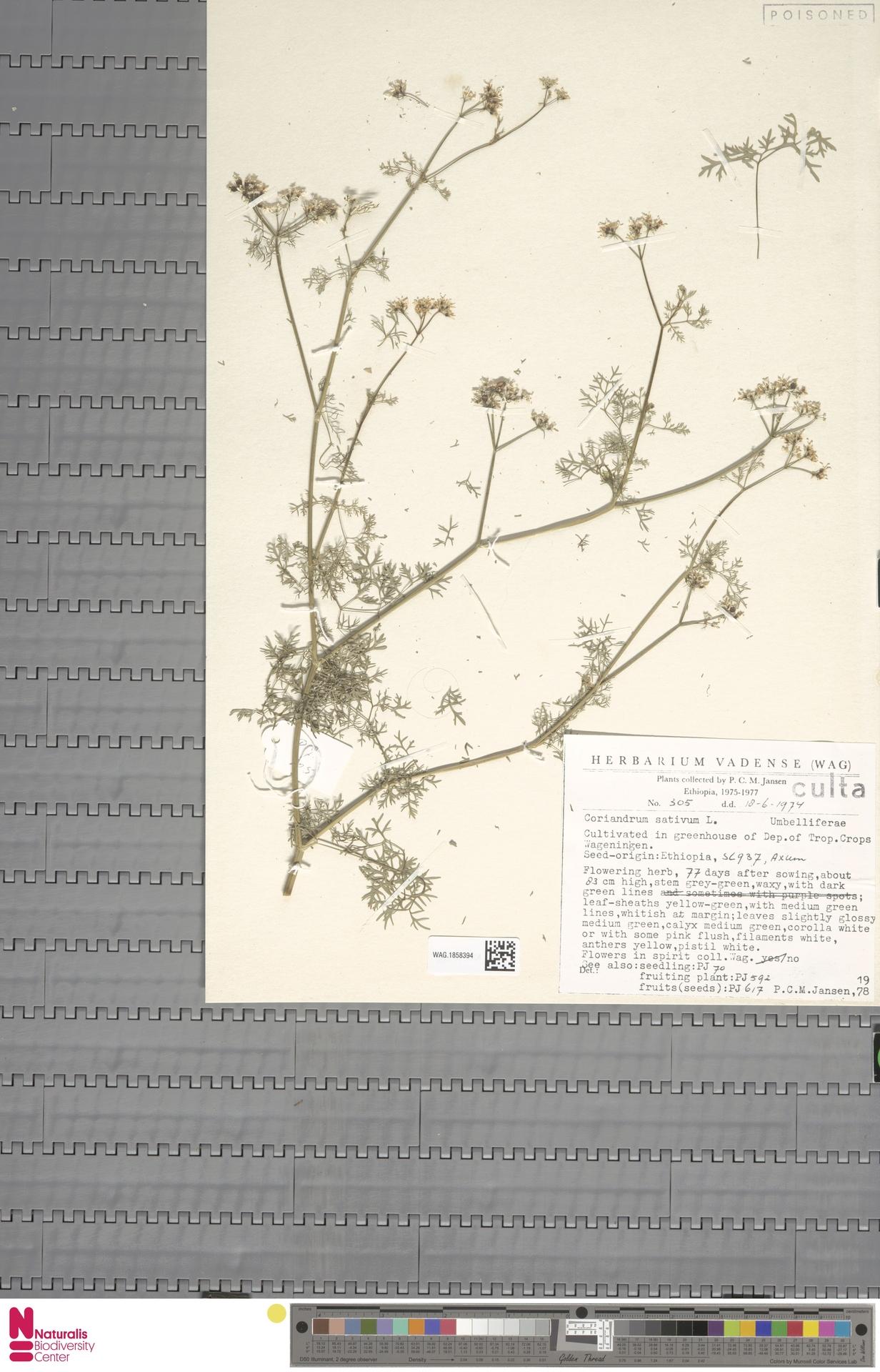 WAG.1858394   Coriandrum sativum L.