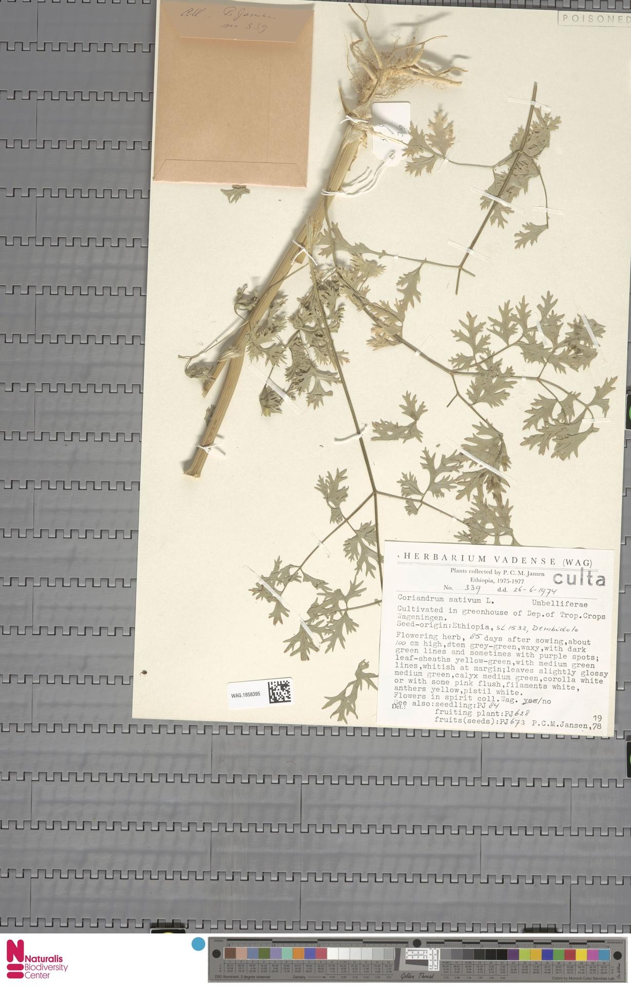 WAG.1858395 | Coriandrum sativum L.