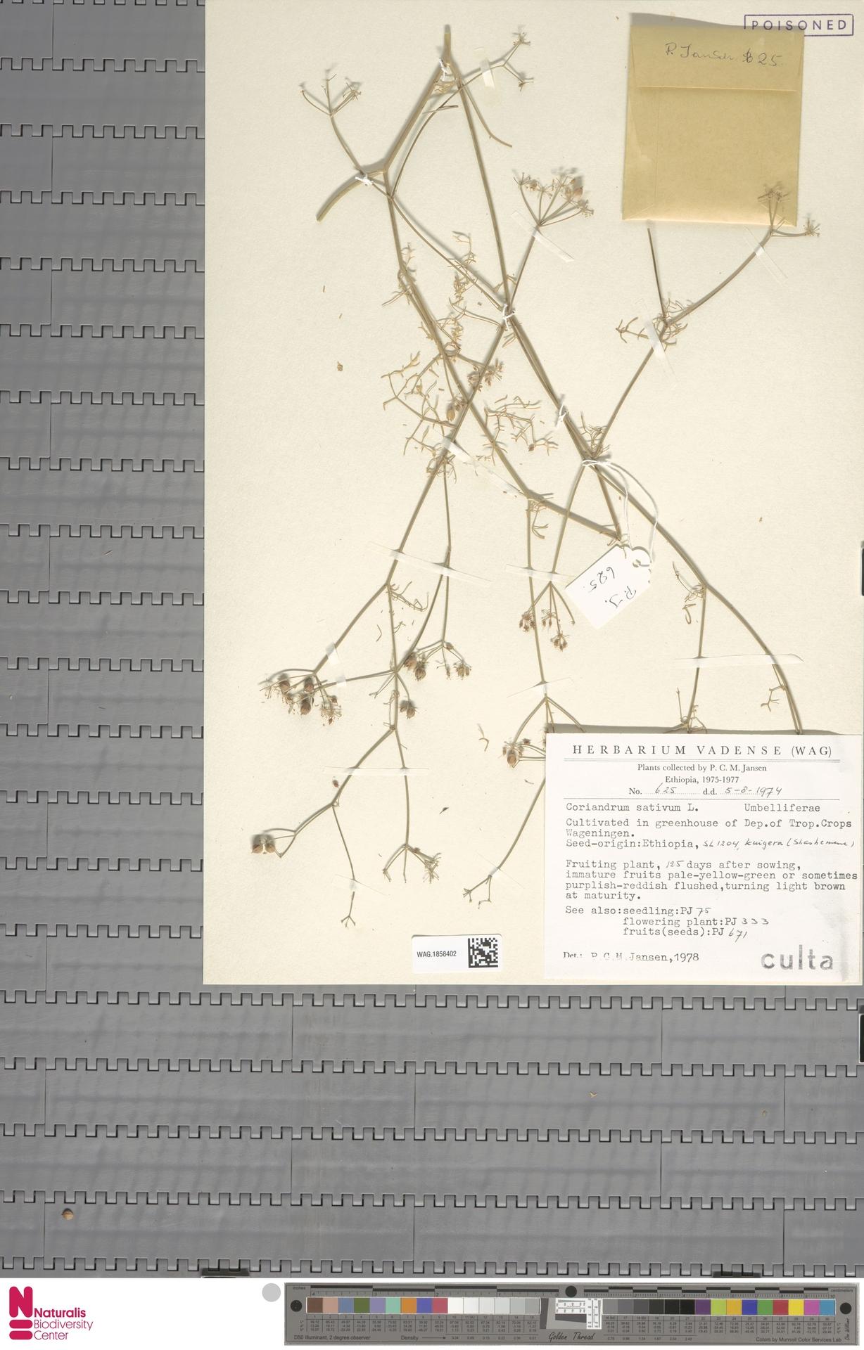 WAG.1858402 | Coriandrum sativum L.