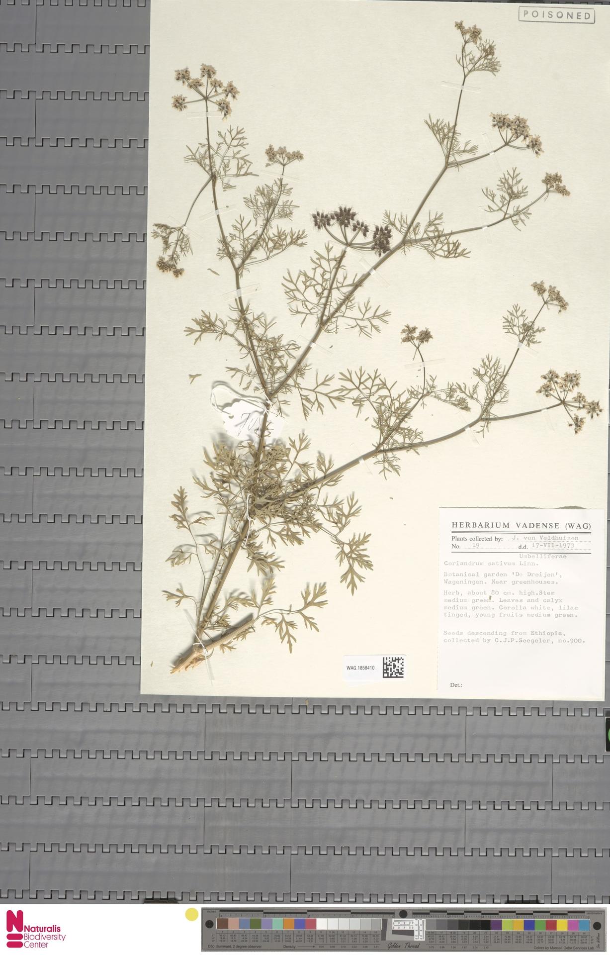 WAG.1858410   Coriandrum sativum L.