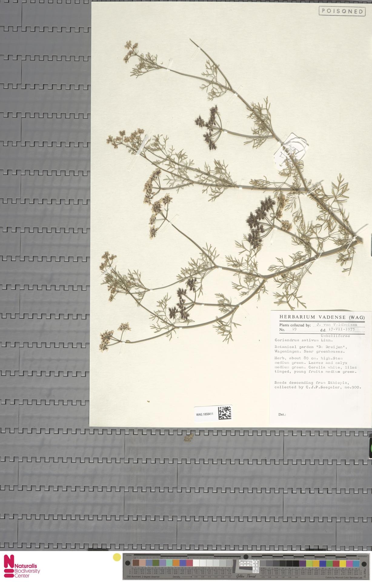 WAG.1858411 | Coriandrum sativum L.