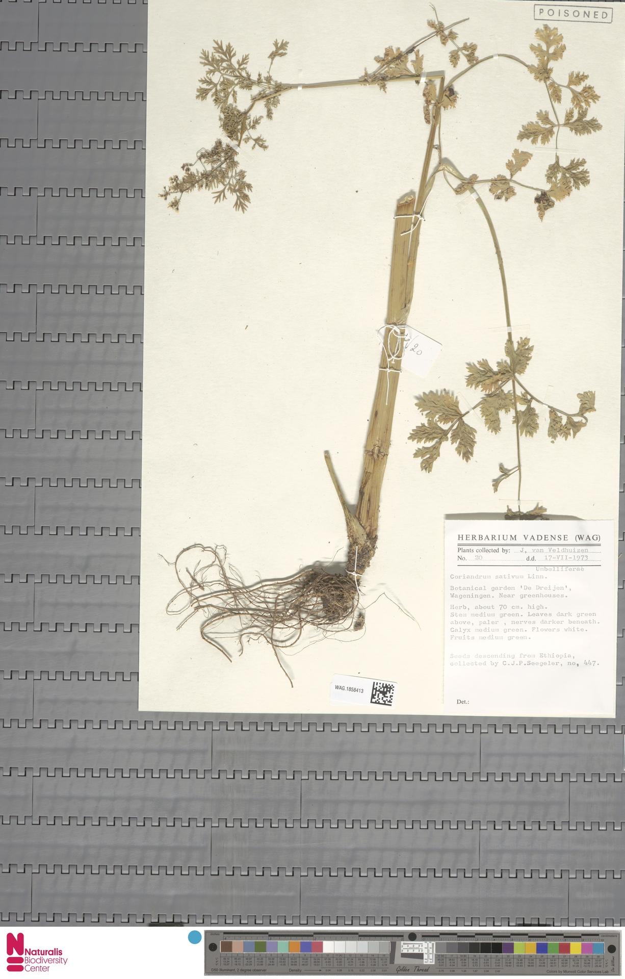 WAG.1858413 | Coriandrum sativum L.