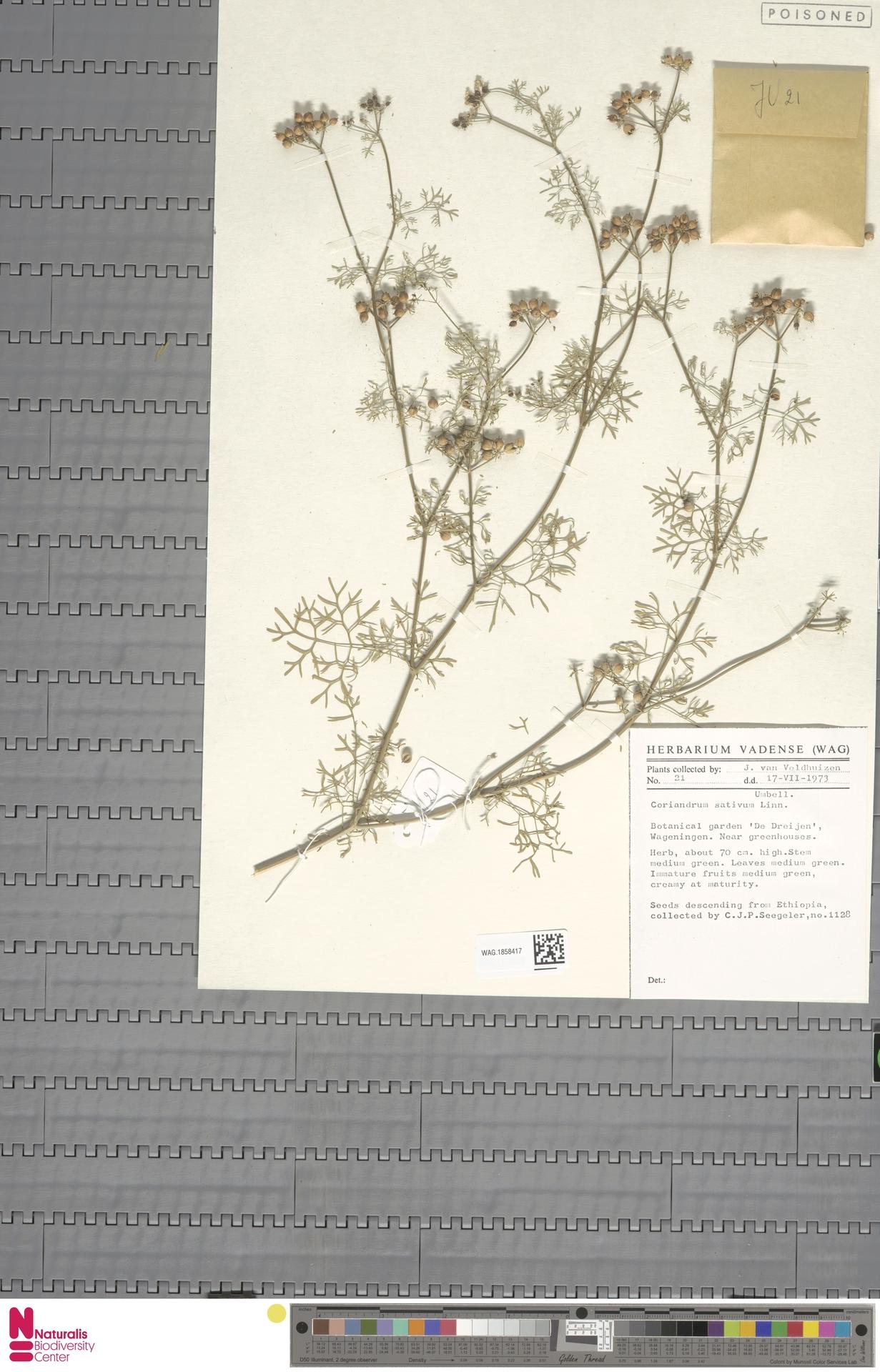 WAG.1858417 | Coriandrum sativum L.
