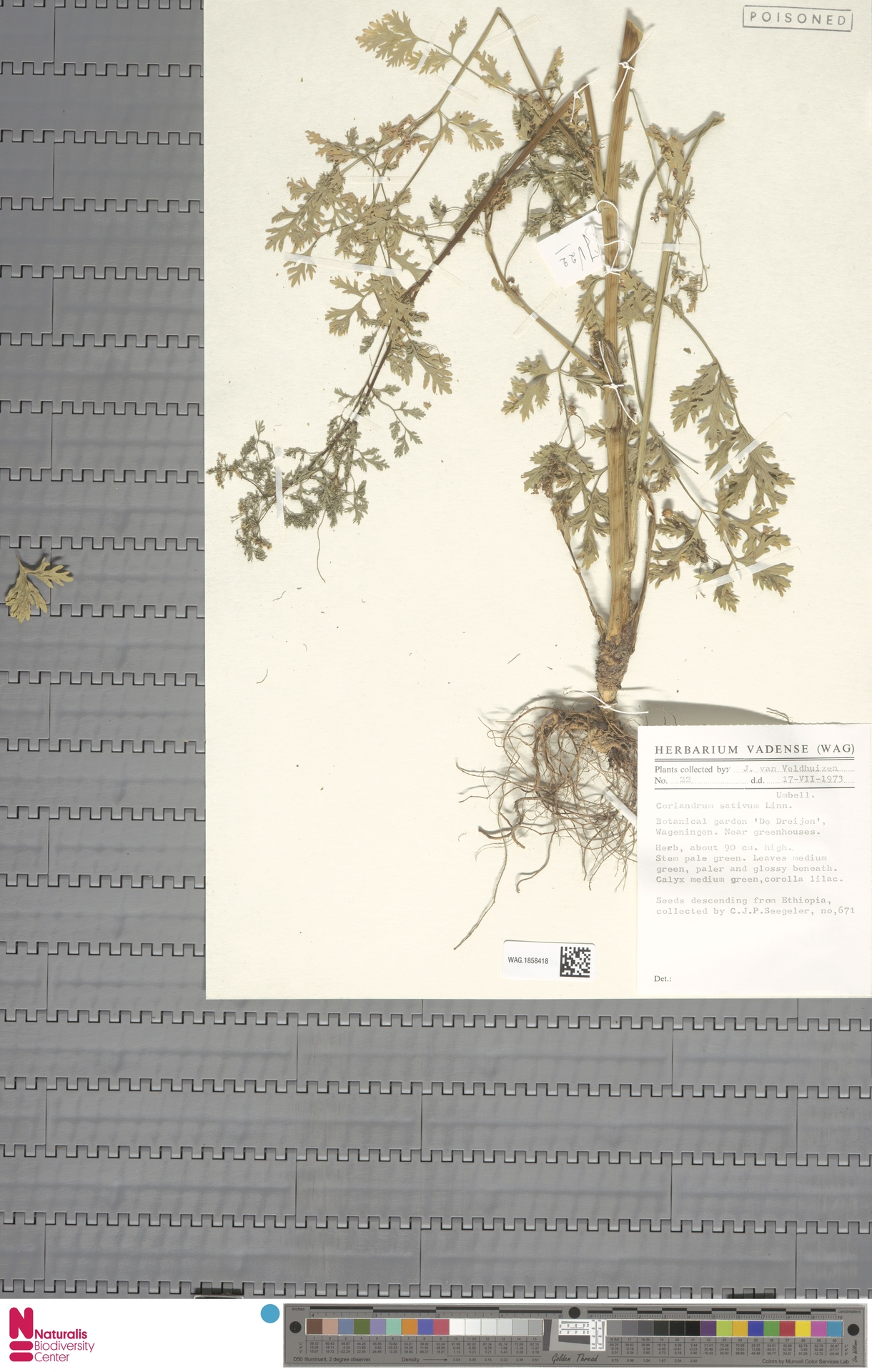 WAG.1858418 | Coriandrum sativum L.