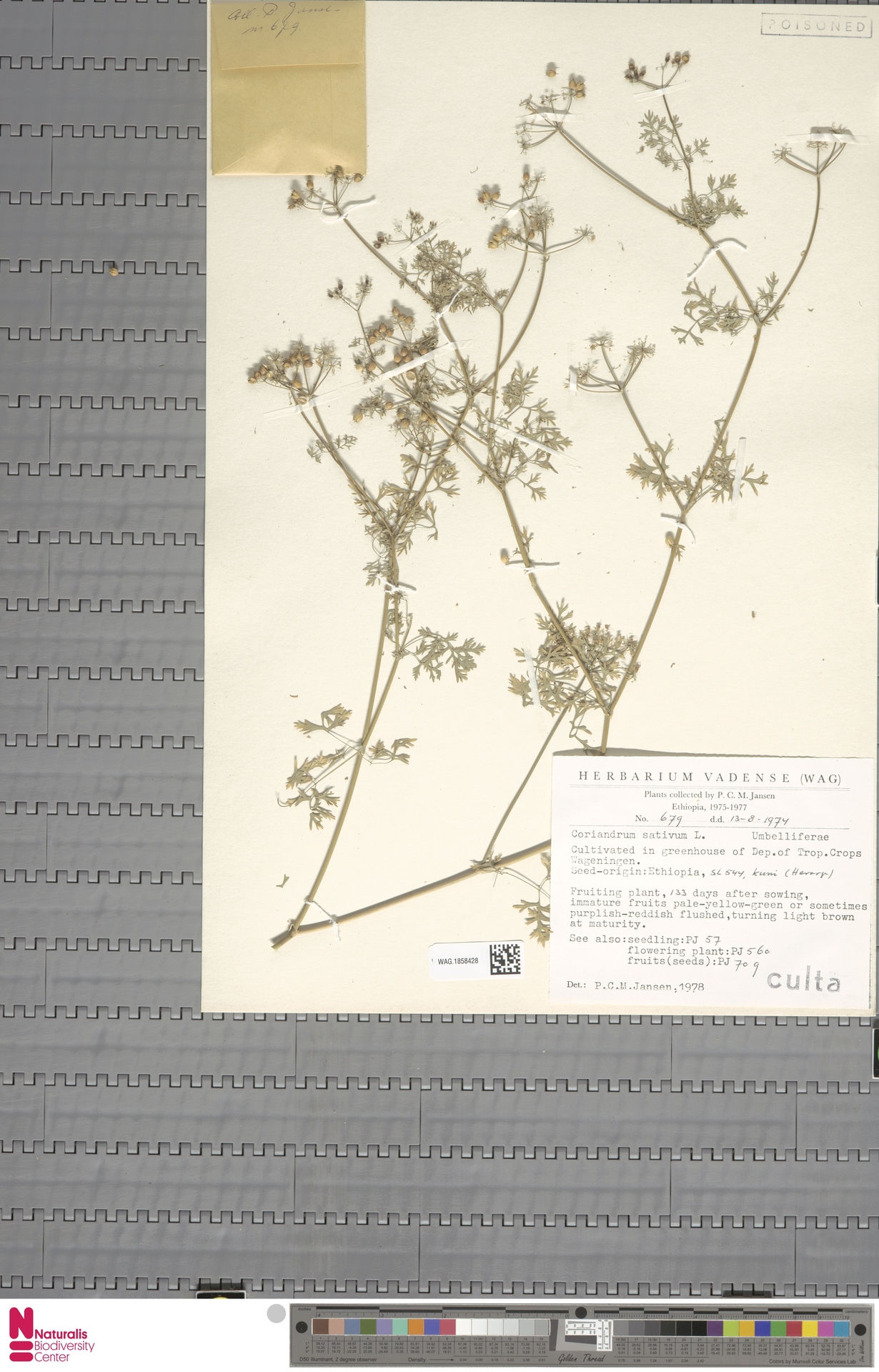 WAG.1858428 | Coriandrum sativum L.