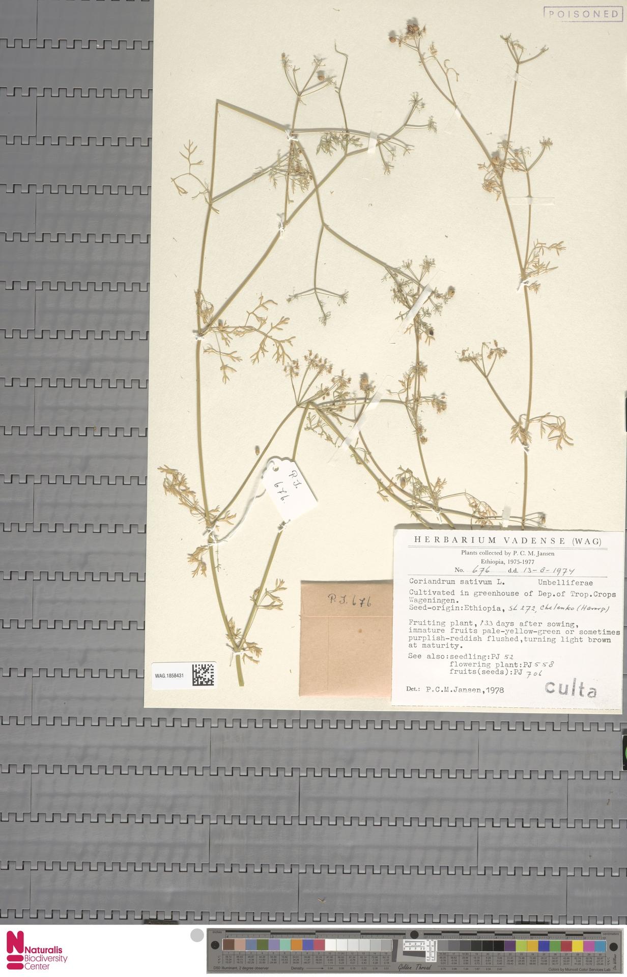 WAG.1858431 | Coriandrum sativum L.