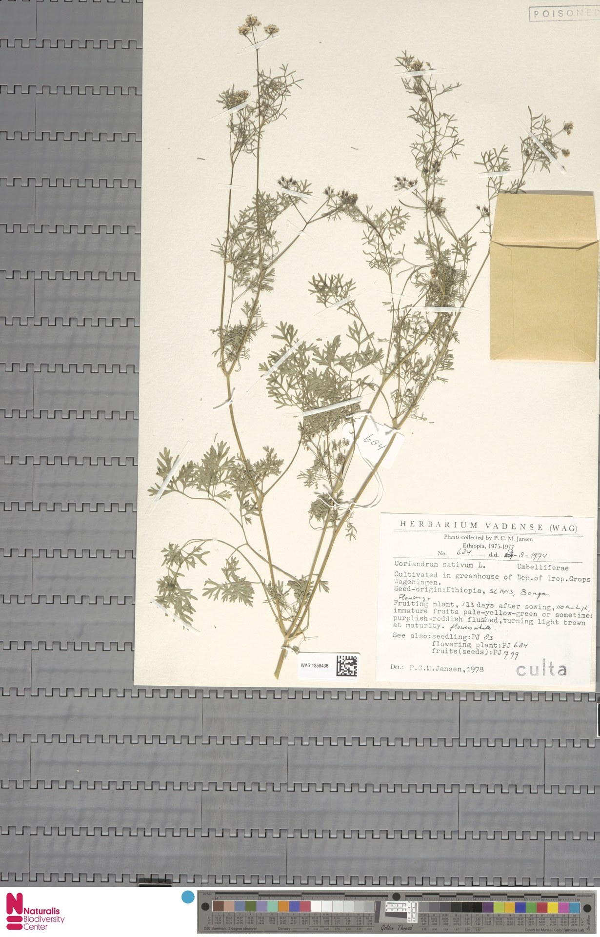WAG.1858436 | Coriandrum sativum L.