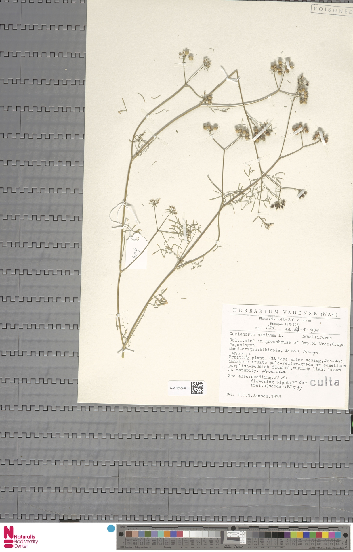 WAG.1858437 | Coriandrum sativum L.