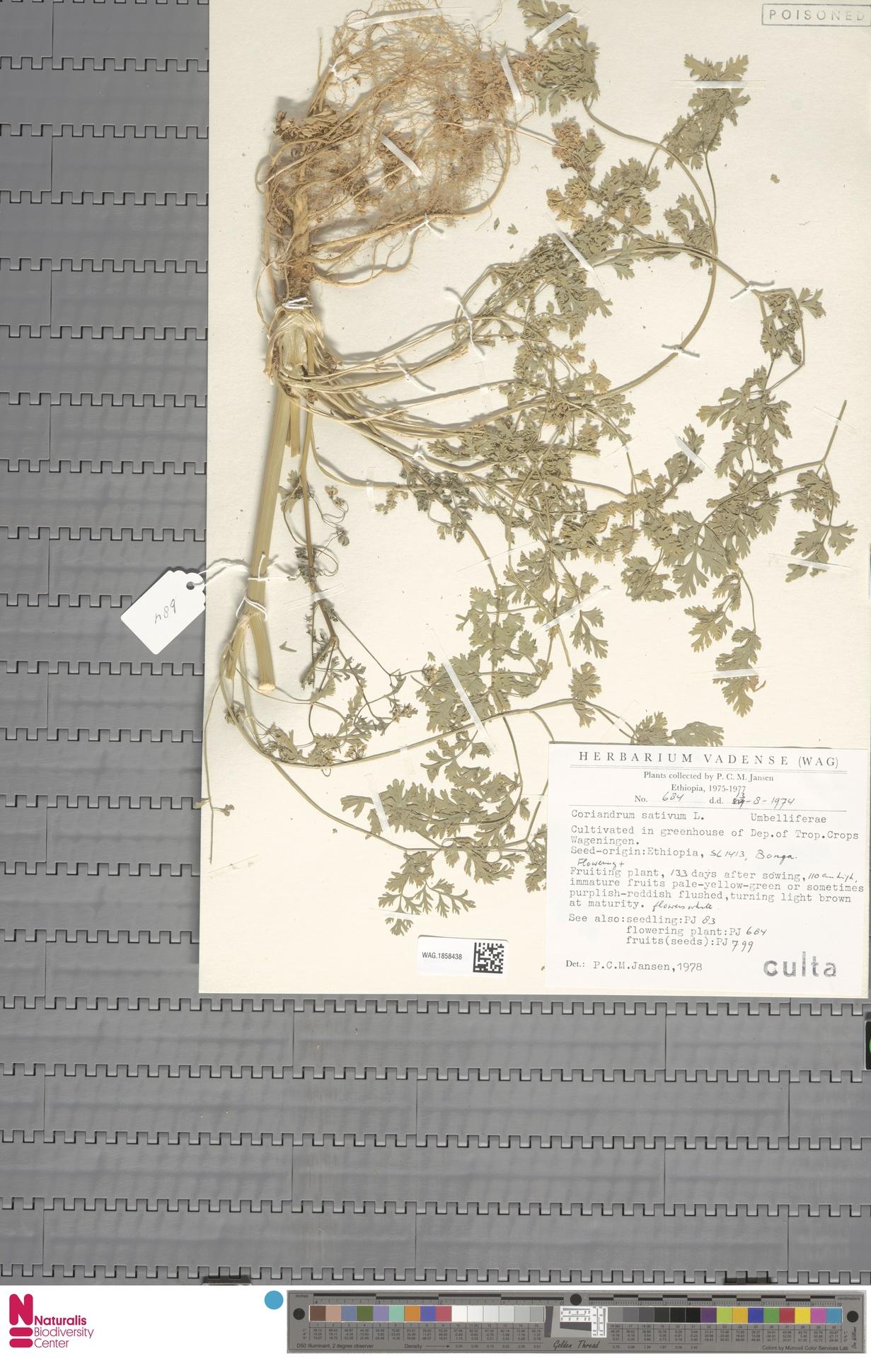 WAG.1858438 | Coriandrum sativum L.