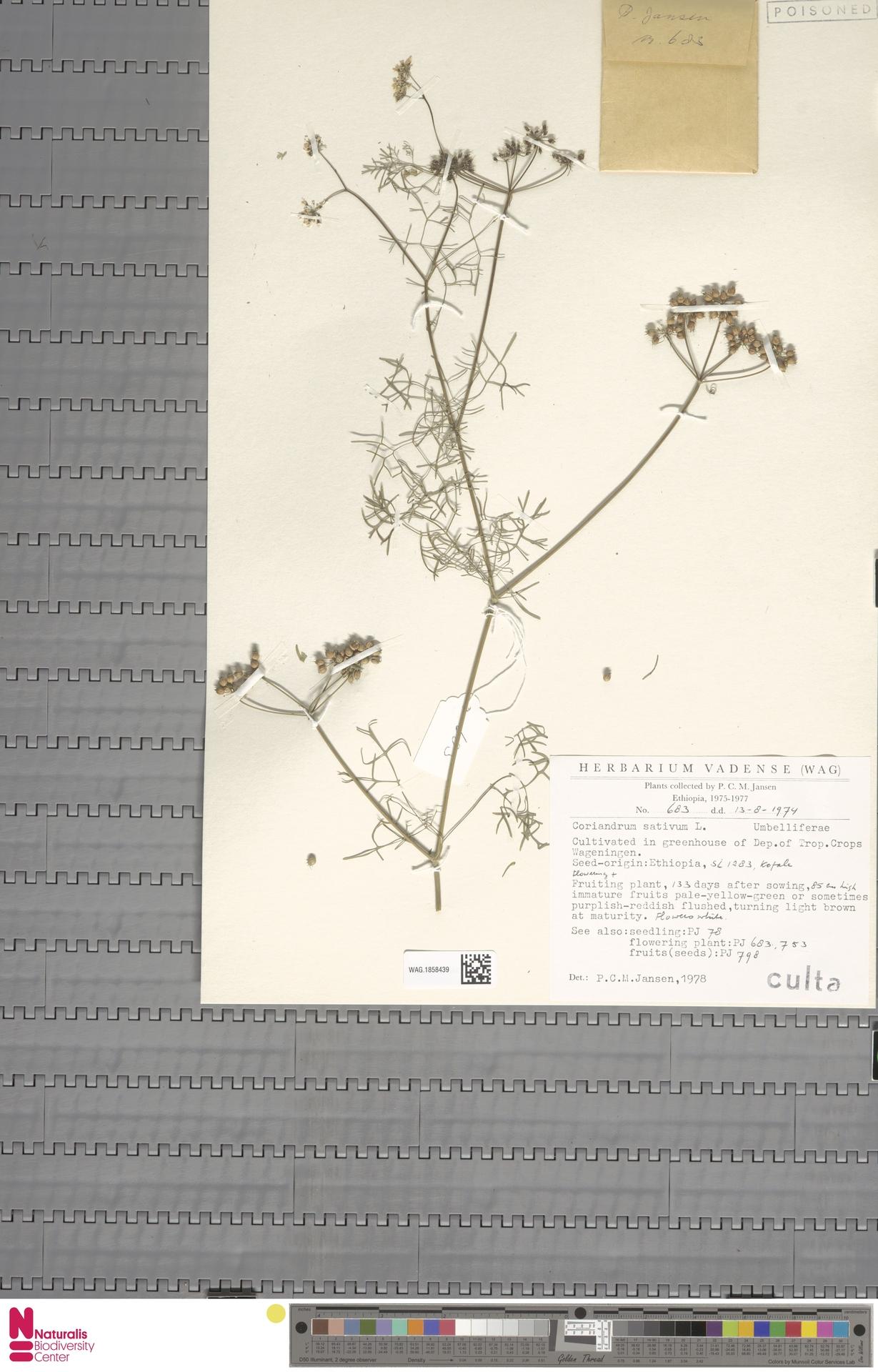 WAG.1858439 | Coriandrum sativum L.