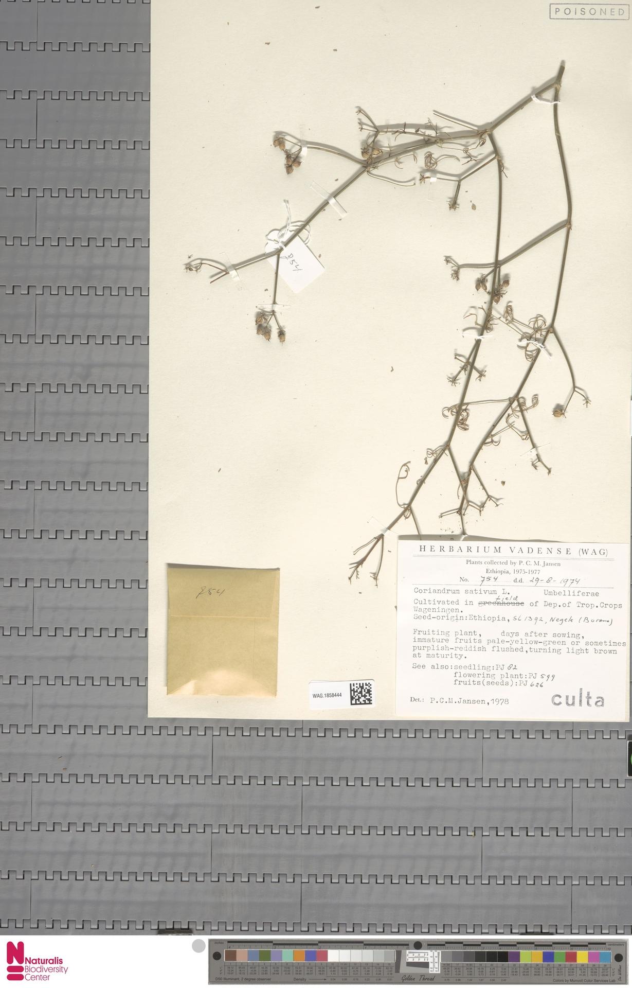 WAG.1858444 | Coriandrum sativum L.