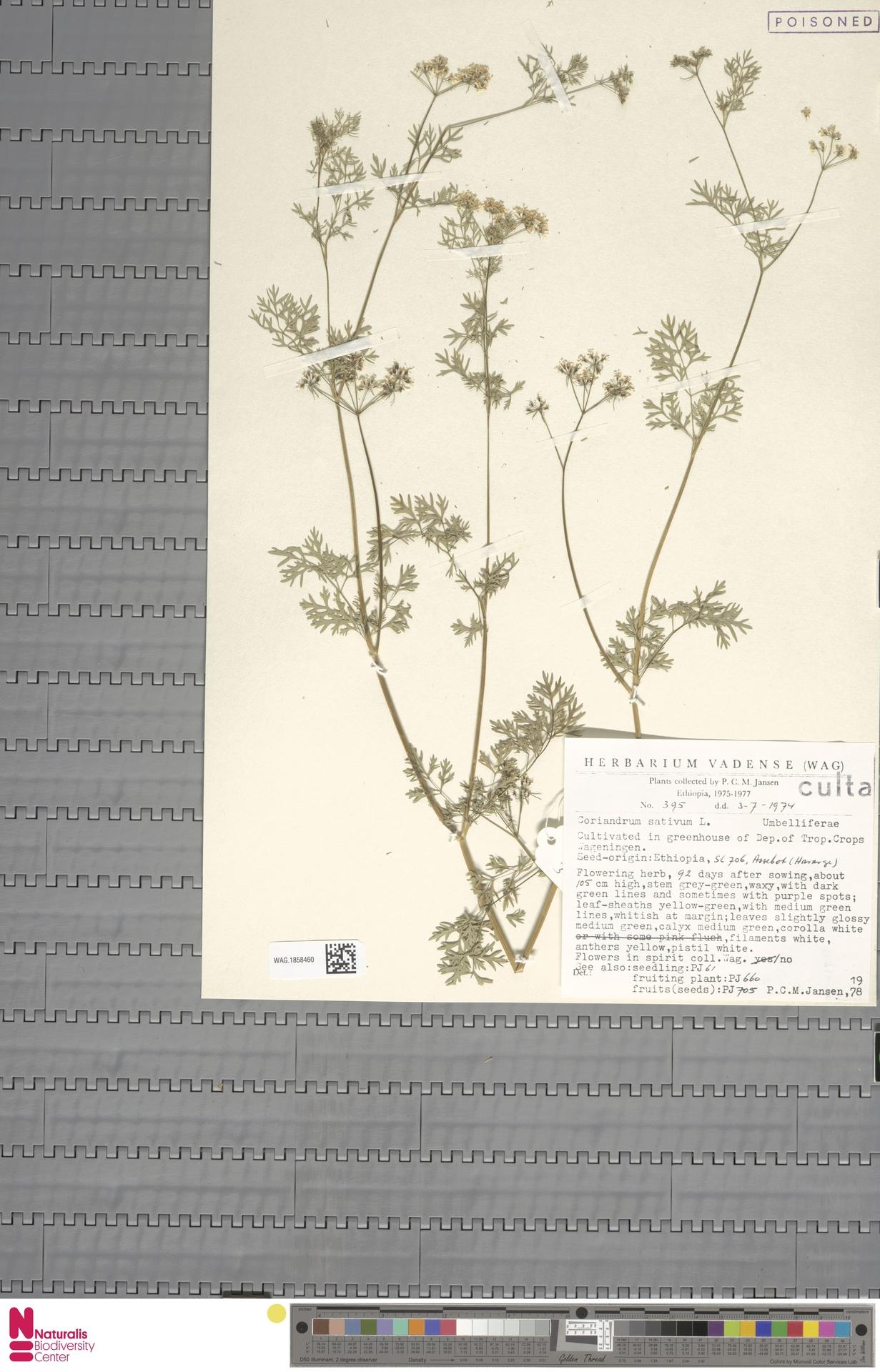 WAG.1858460 | Coriandrum sativum L.
