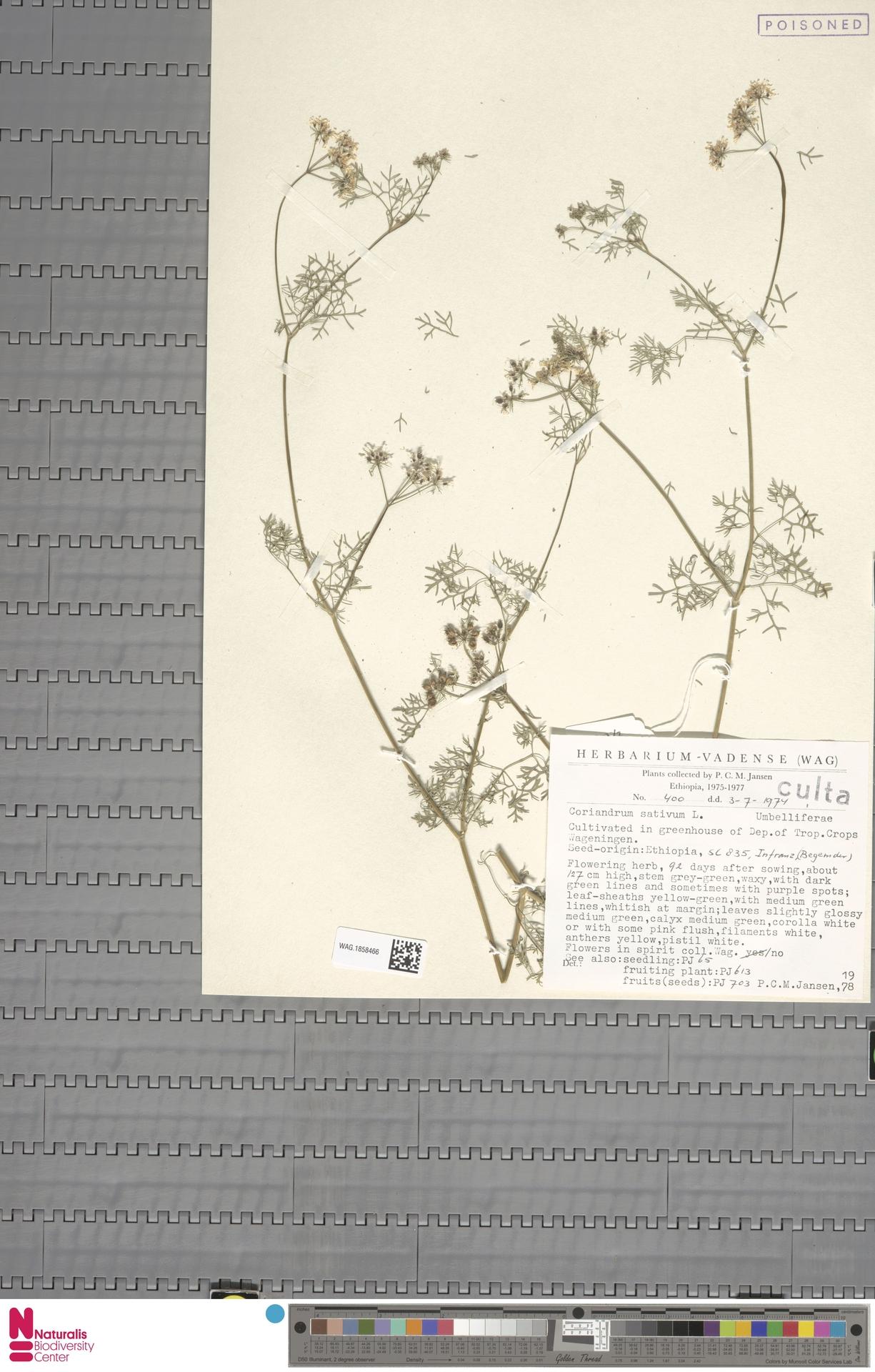 WAG.1858466 | Coriandrum sativum L.