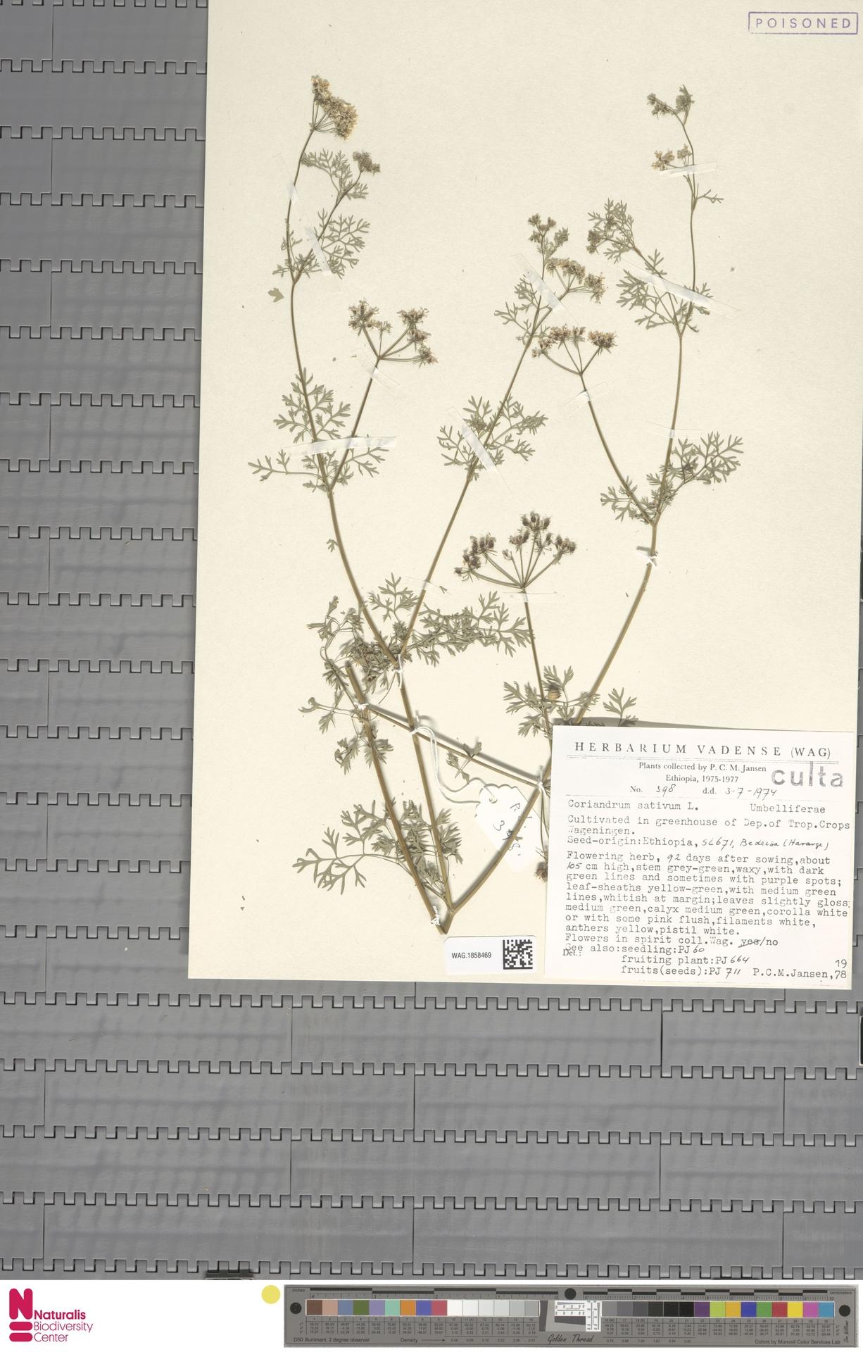 WAG.1858469 | Coriandrum sativum L.