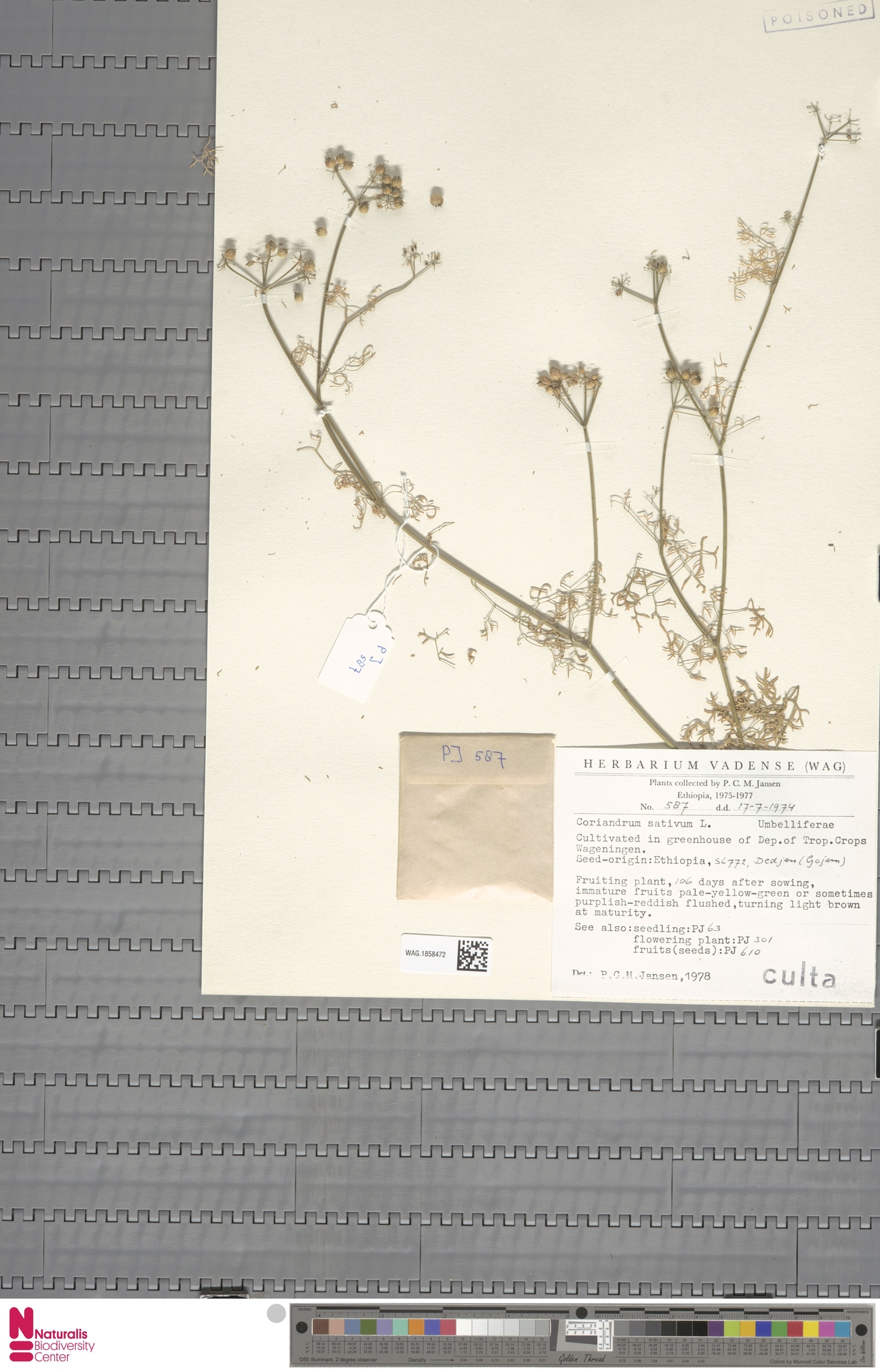 WAG.1858472   Coriandrum sativum L.