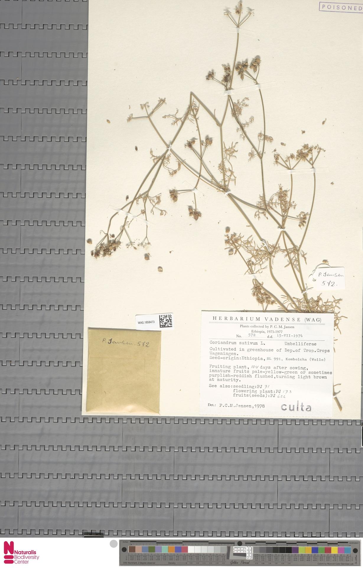 WAG.1858473 | Coriandrum sativum L.