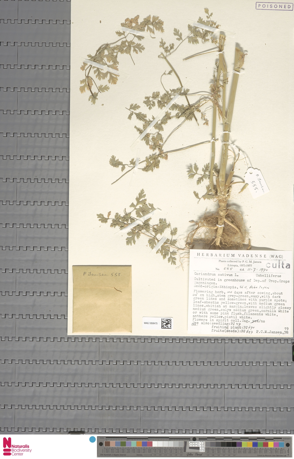 WAG.1858475 | Coriandrum sativum L.