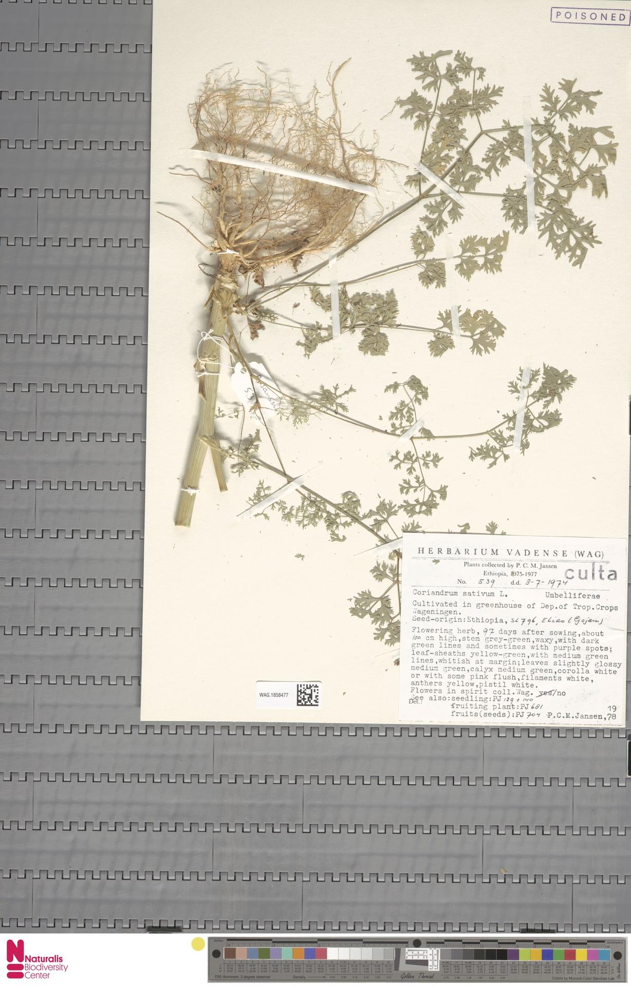 WAG.1858477 | Coriandrum sativum L.