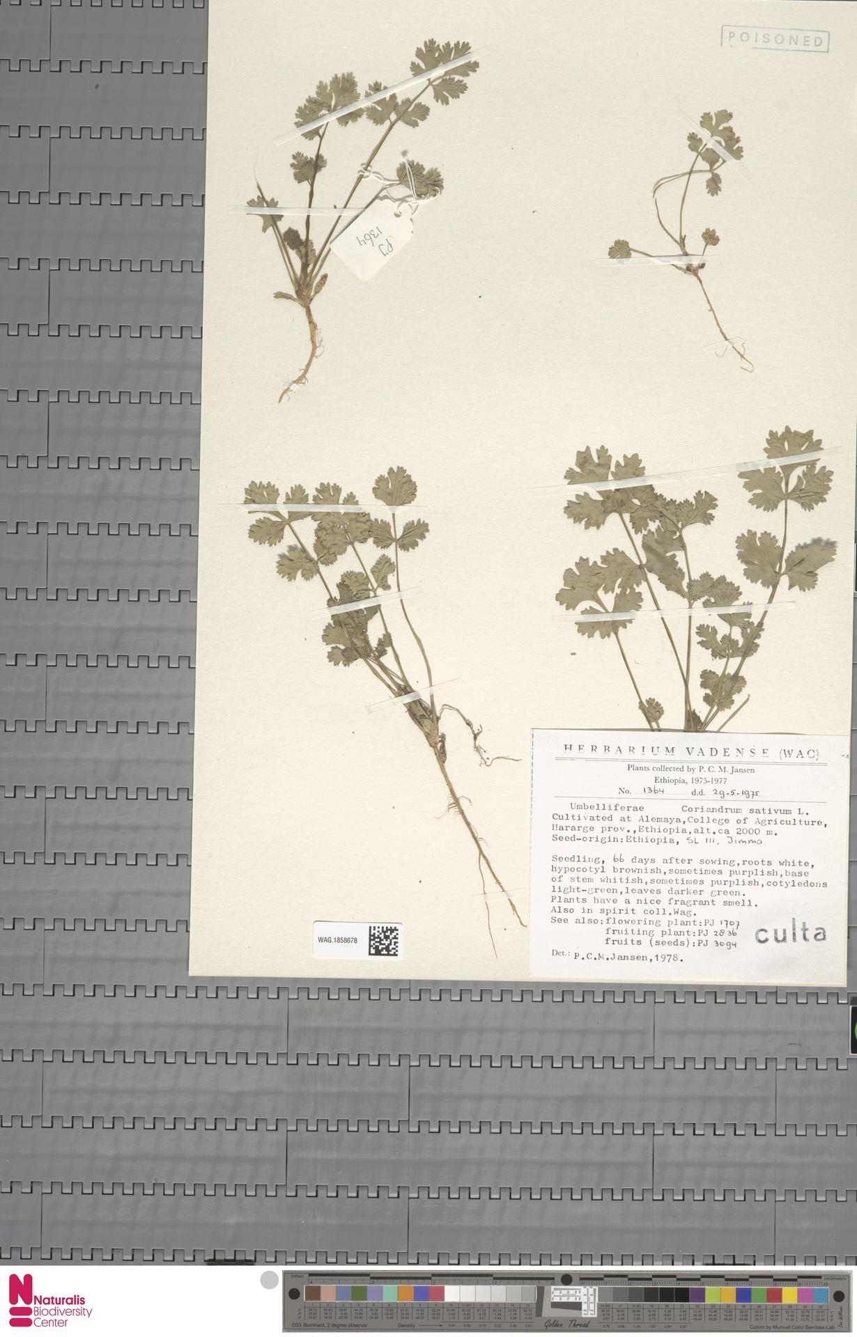 WAG.1858678 | Coriandrum sativum L.