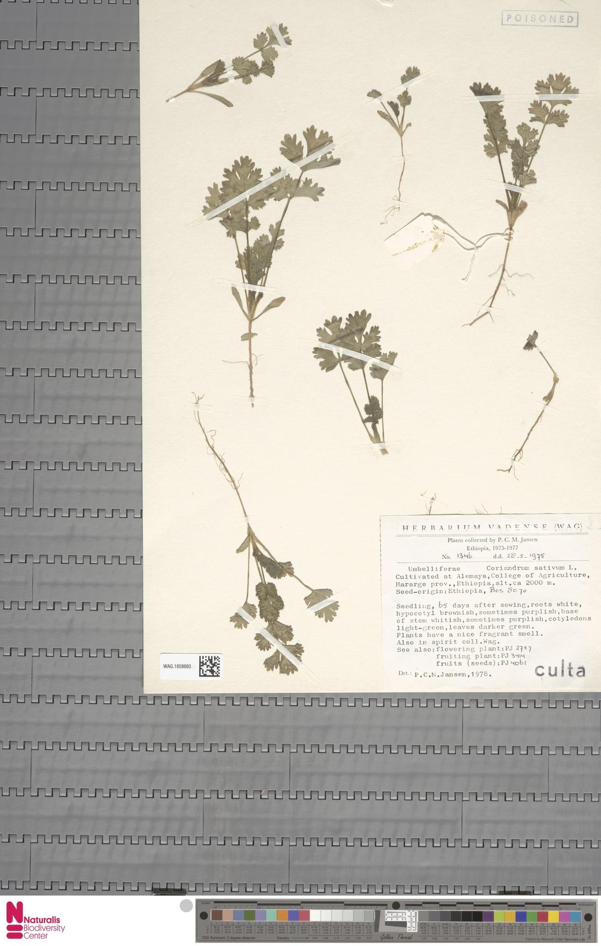 WAG.1858683 | Coriandrum sativum L.