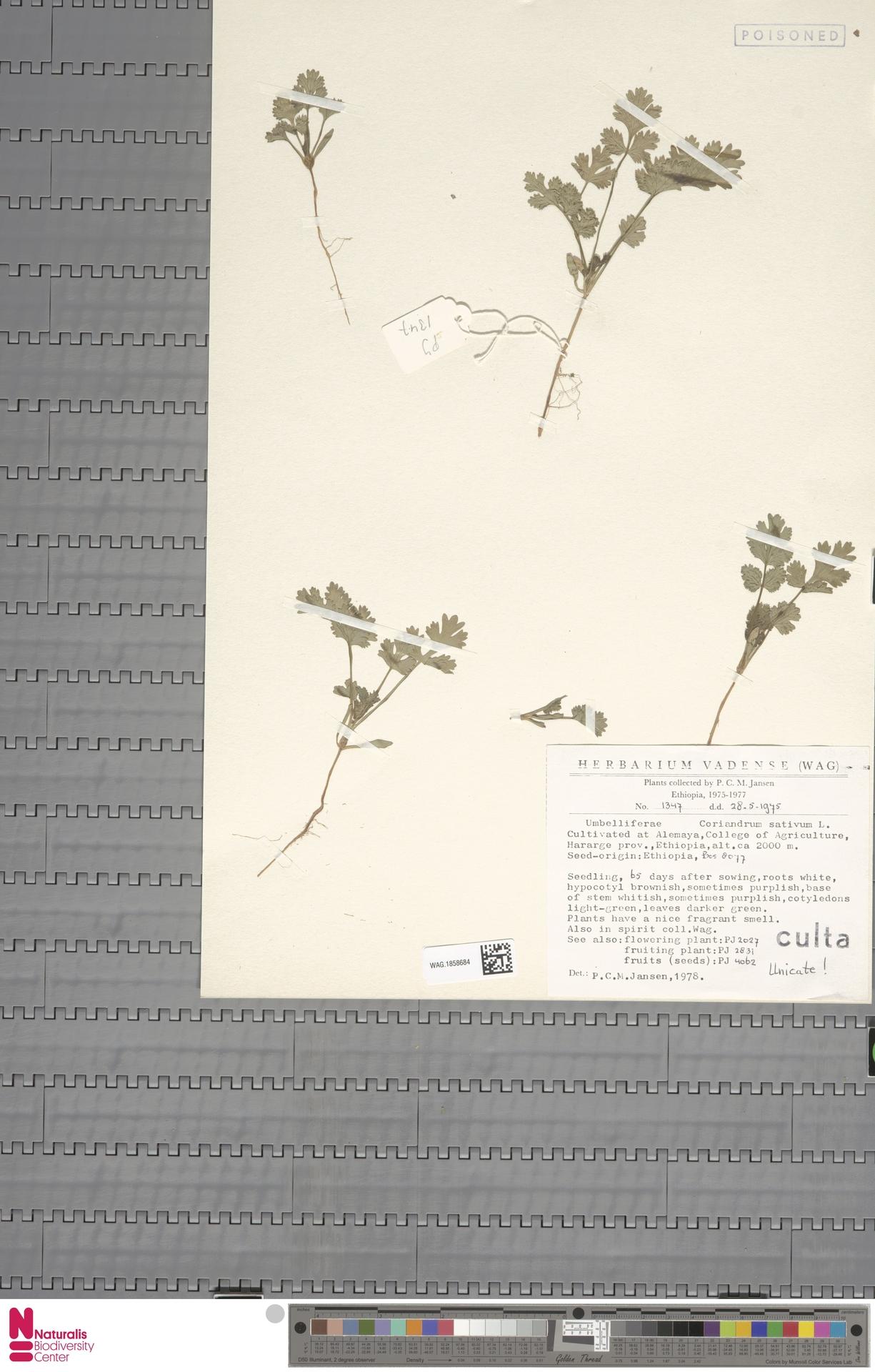 WAG.1858684 | Coriandrum sativum L.