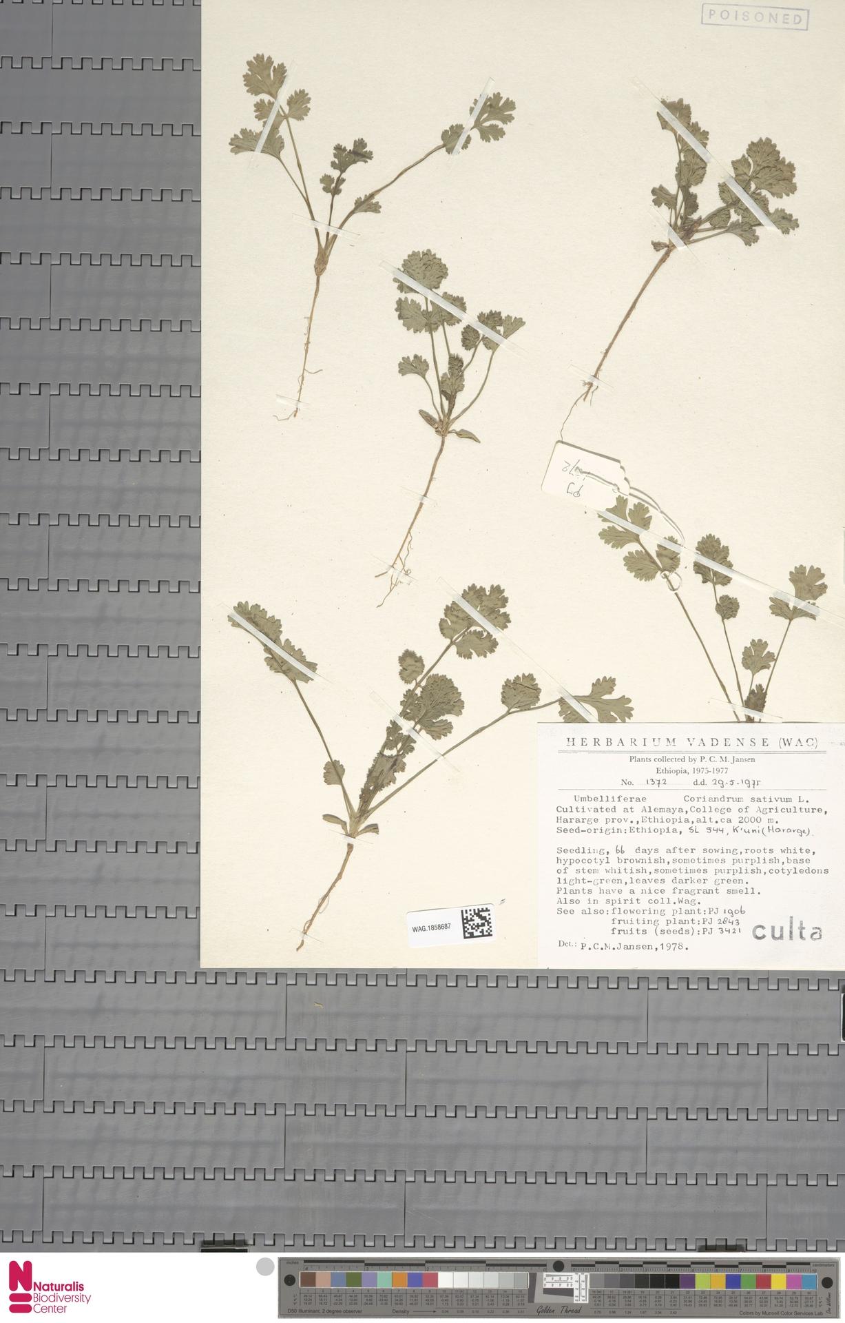 WAG.1858687 | Coriandrum sativum L.