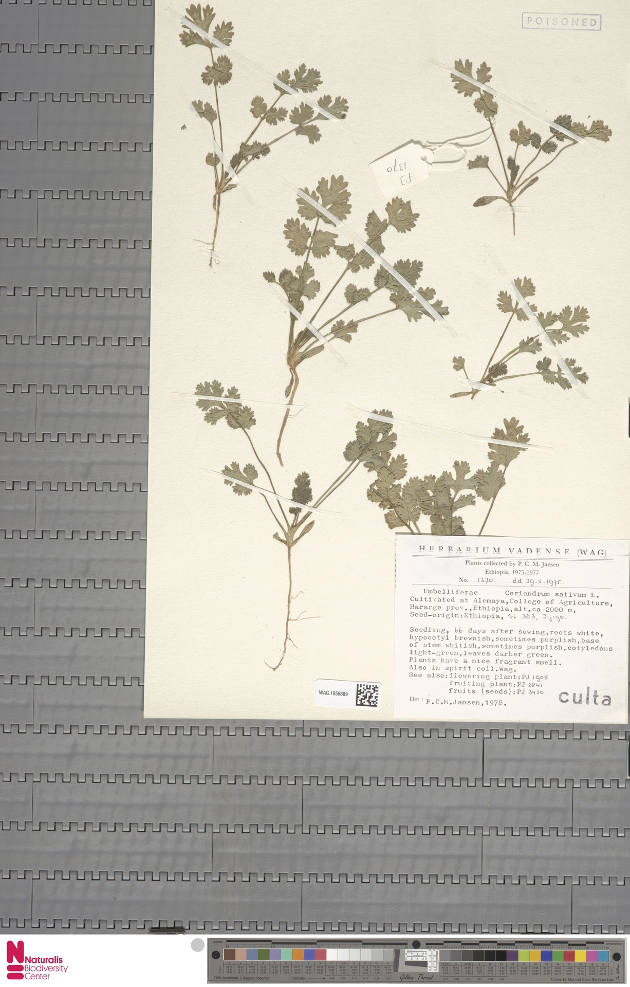 WAG.1858689 | Coriandrum sativum L.