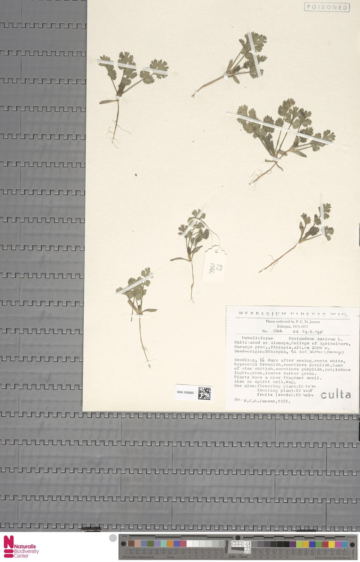 WAG.1858693 | Coriandrum sativum L.